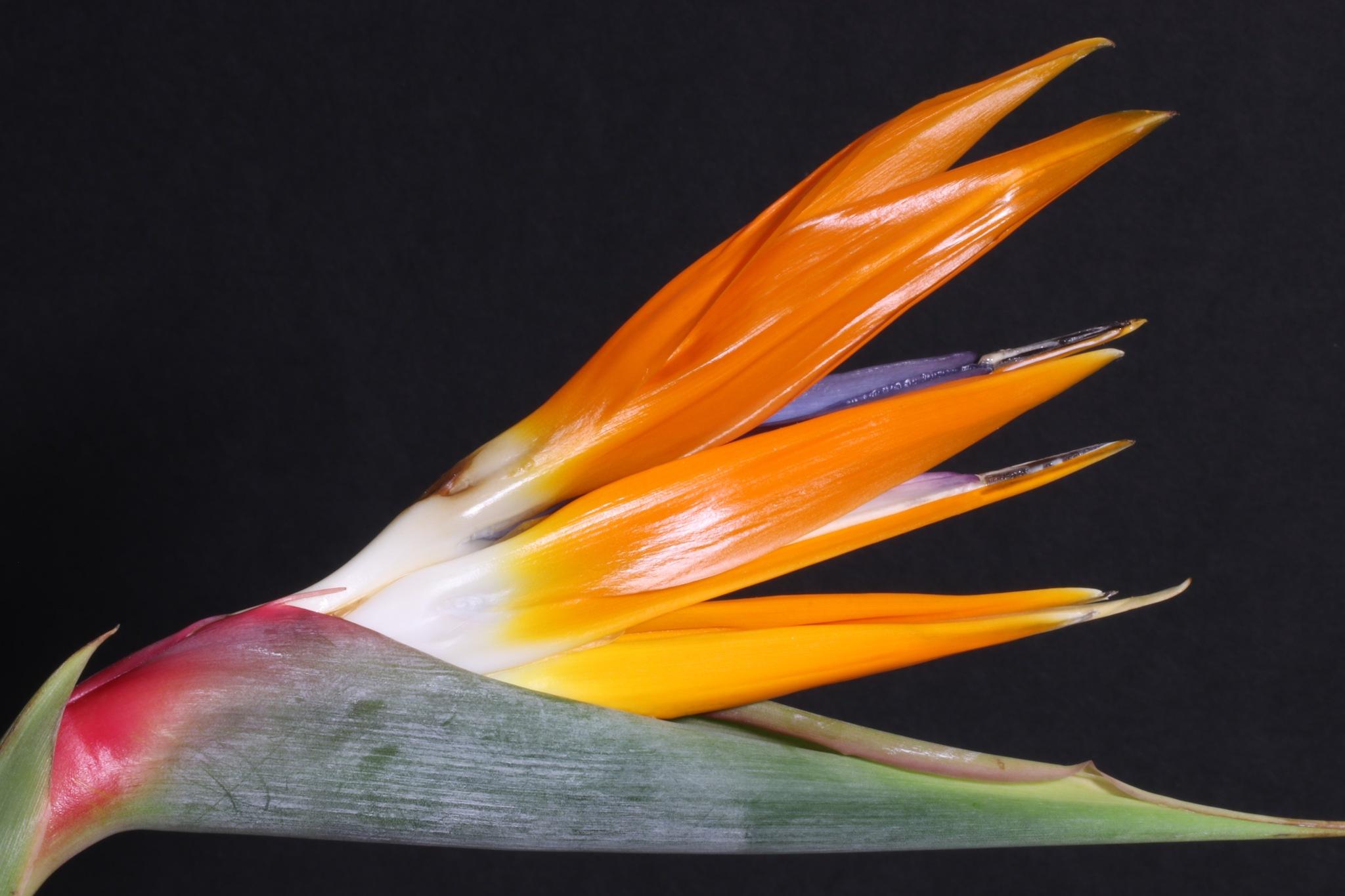 Bird Of Paradise by timothyduffus