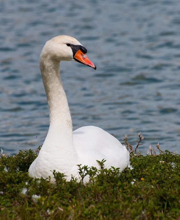 Photo in Animal #swan #bird #florida #water #white