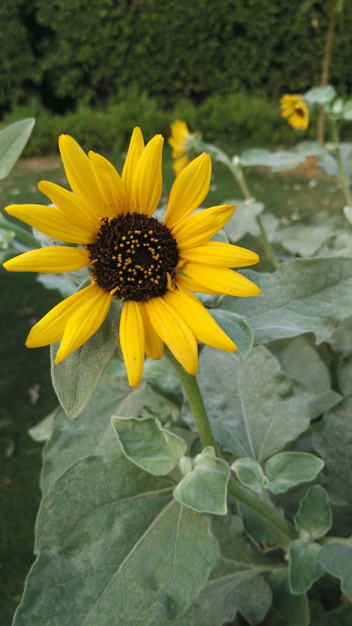sun flower by Meena