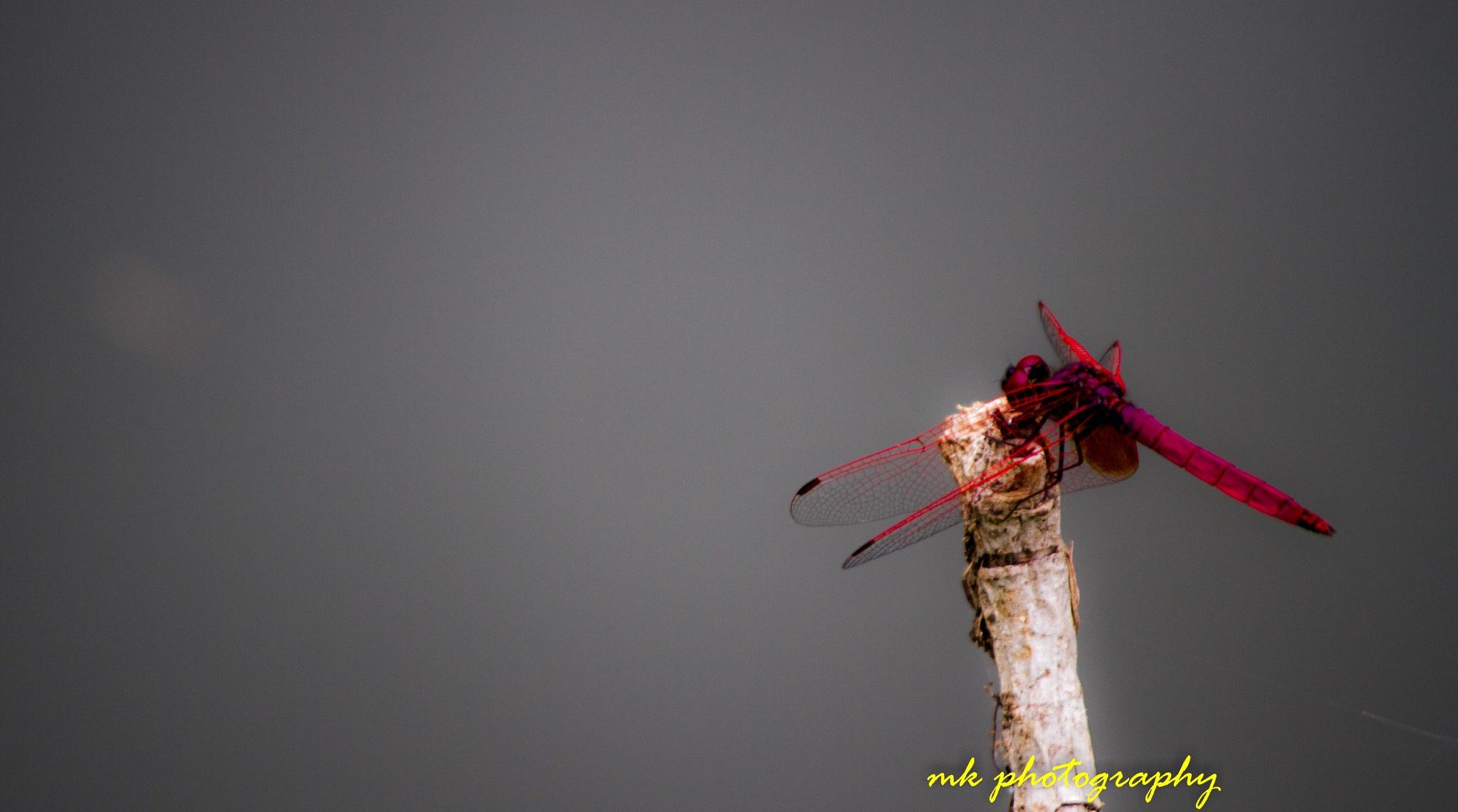 Pink dragonfly by vmk1984
