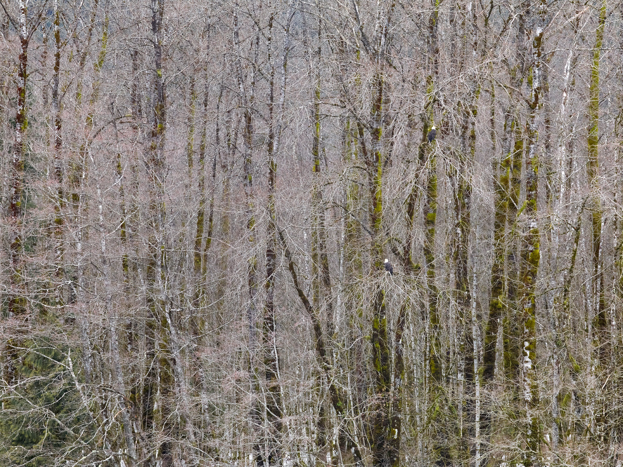 Black Cottonwood Trees and Eagles by MichaelEaston
