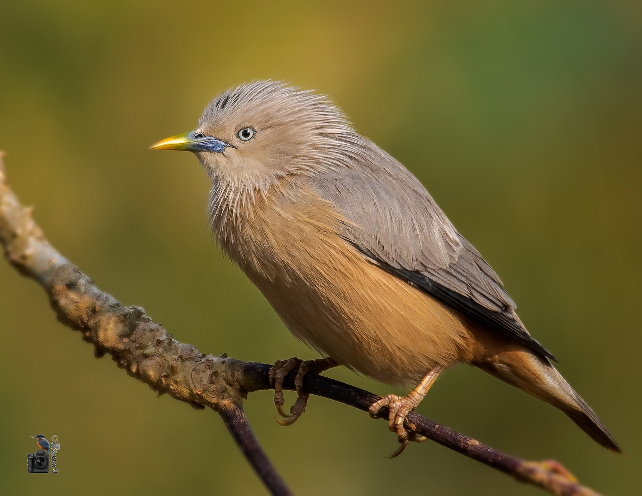 Chestnut-tailed Starling by Mohammad Shakiluzzaman