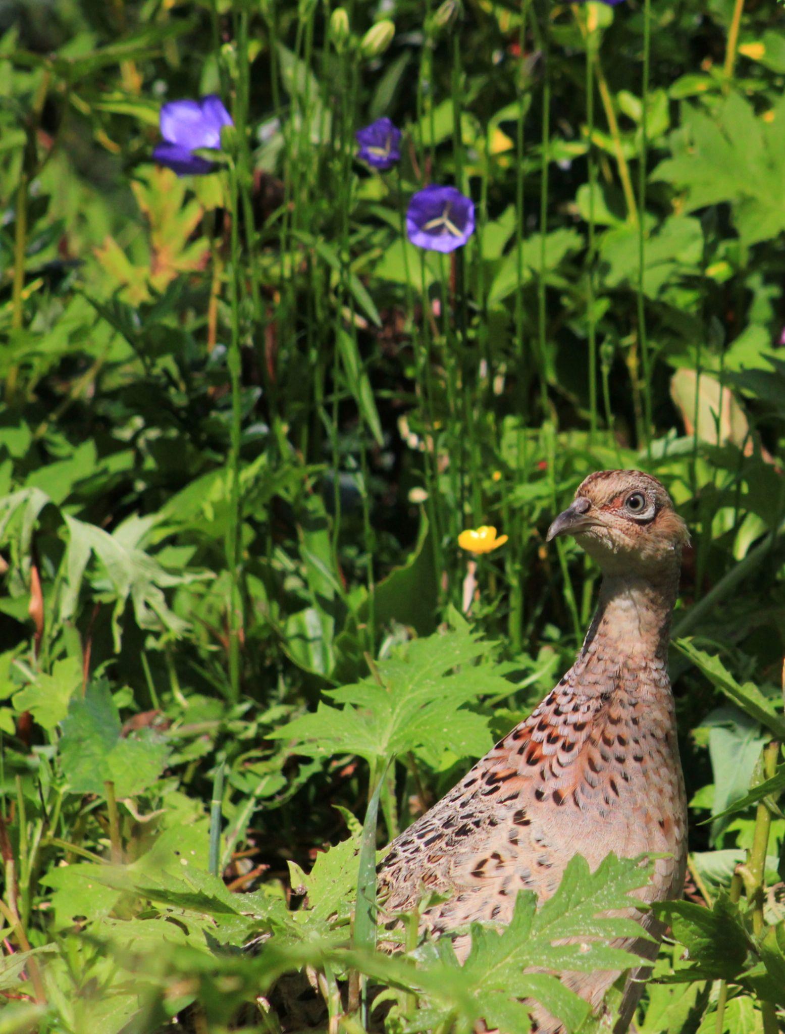 Pheasant by Turnip Towers