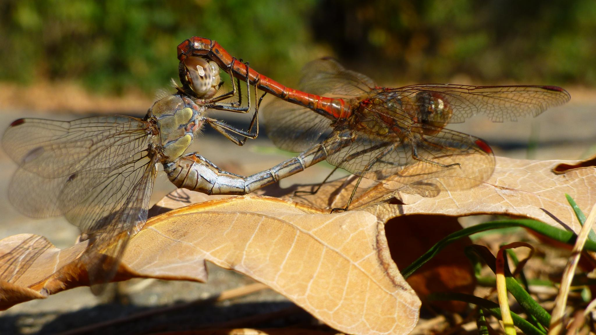 Photo in Macro #dragonfly #insect #bug #nature #autumn #leaf