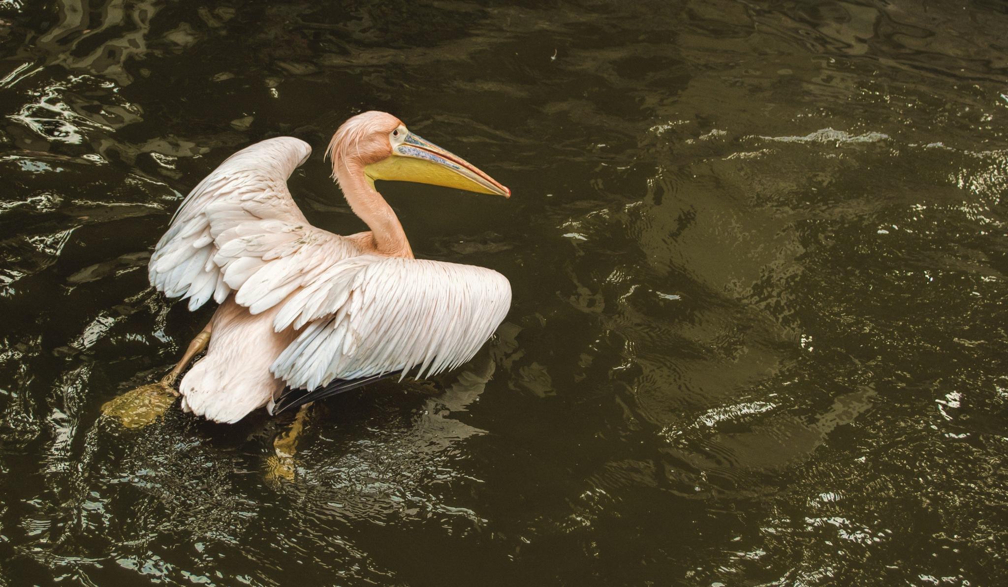 Pelicans by Marwa Elsayed