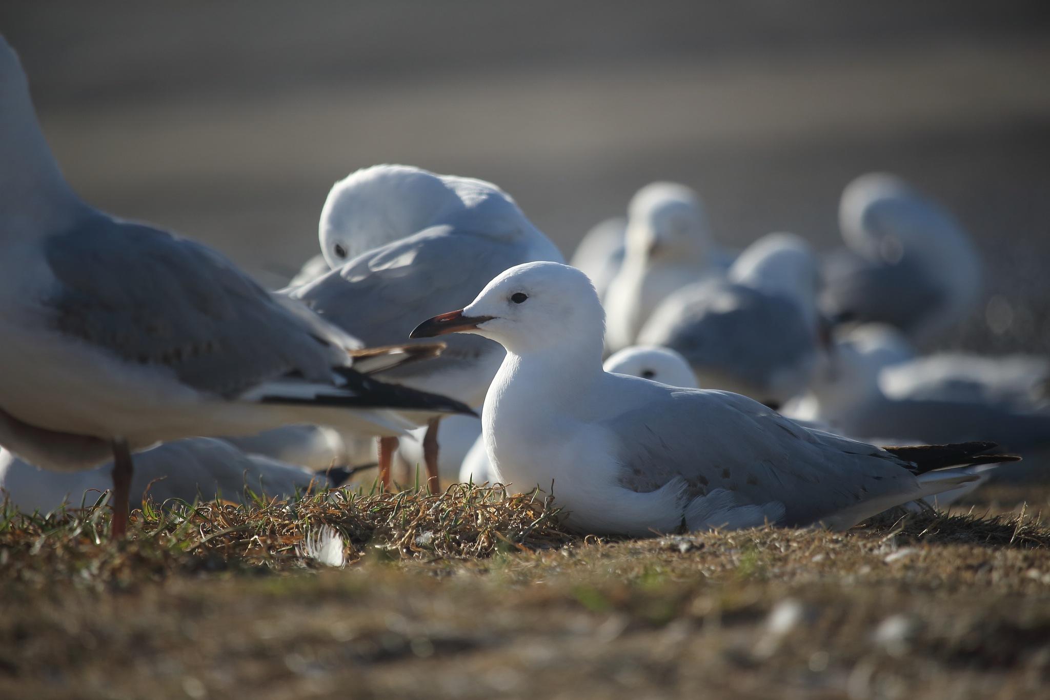 Seagull by JenC