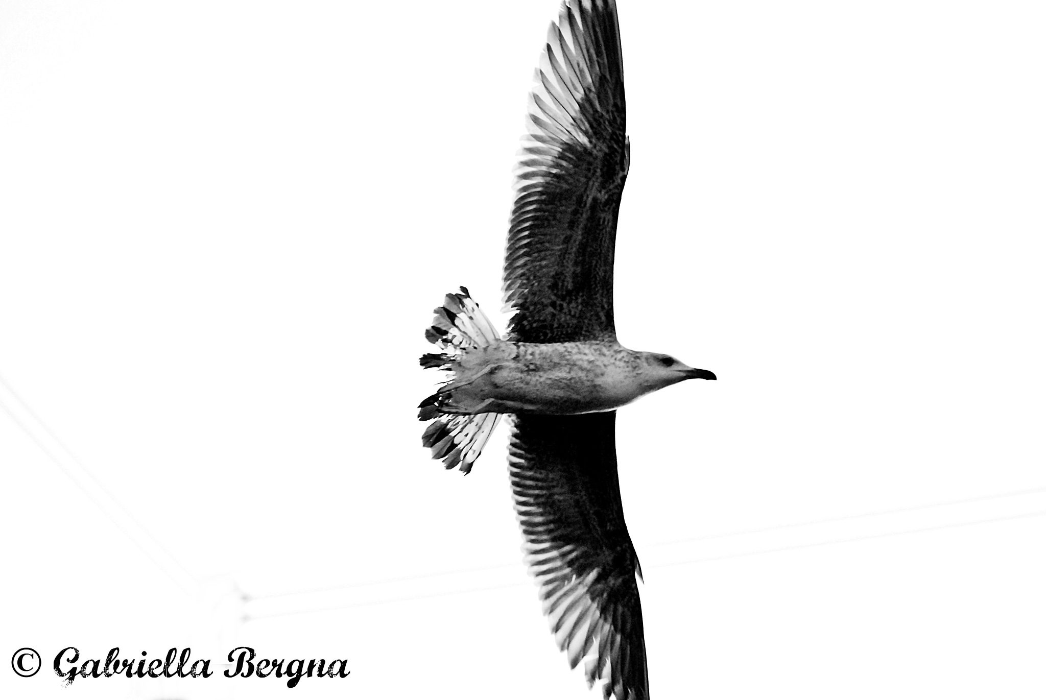 seagull by Gabriella Bergna
