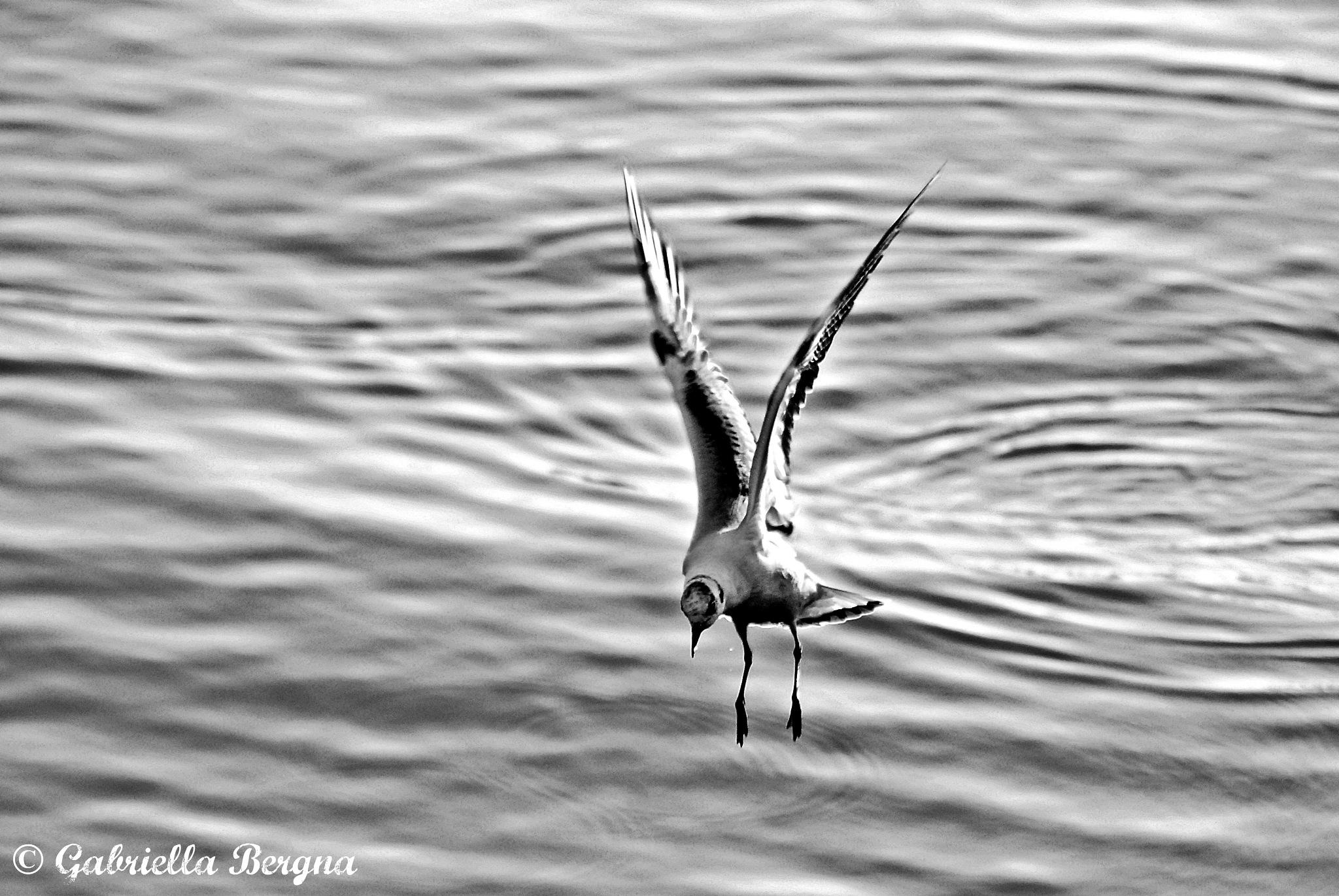 Seagulls by Gabriella Bergna
