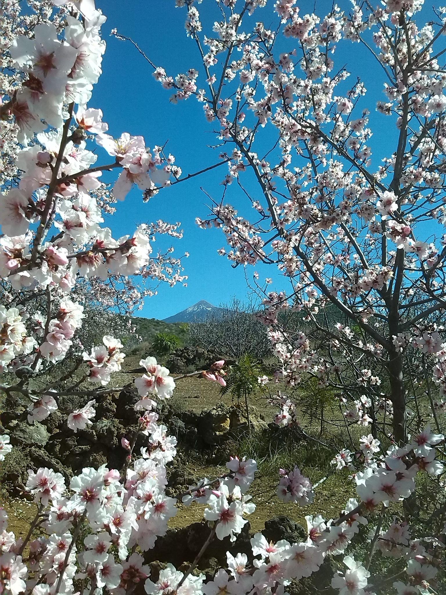 TEIDE in the Almond-trees ...TENERIFE by naturatradicionalcanarias