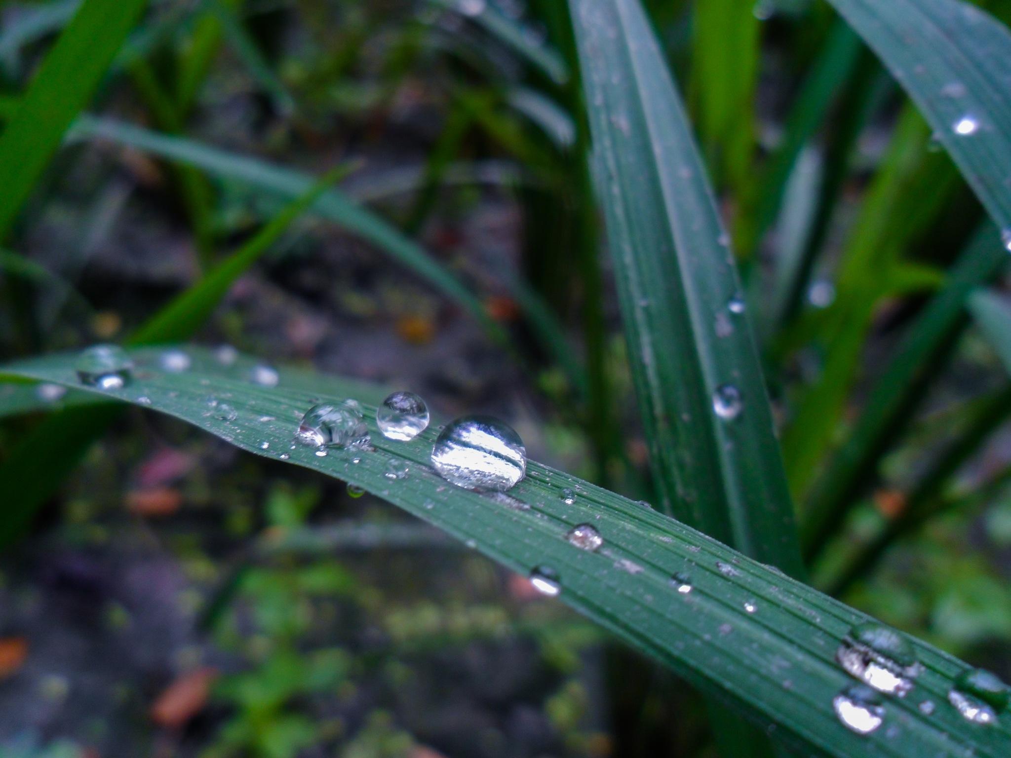 dew drops by SujoyGraphy