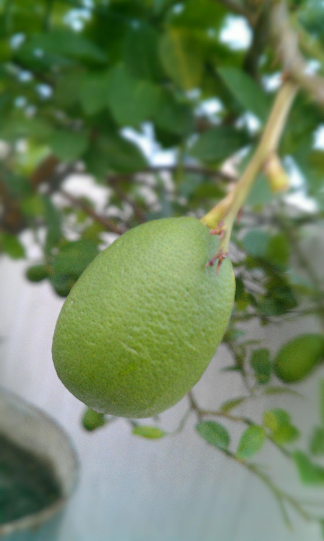 Lemon by Rezaur Sumon