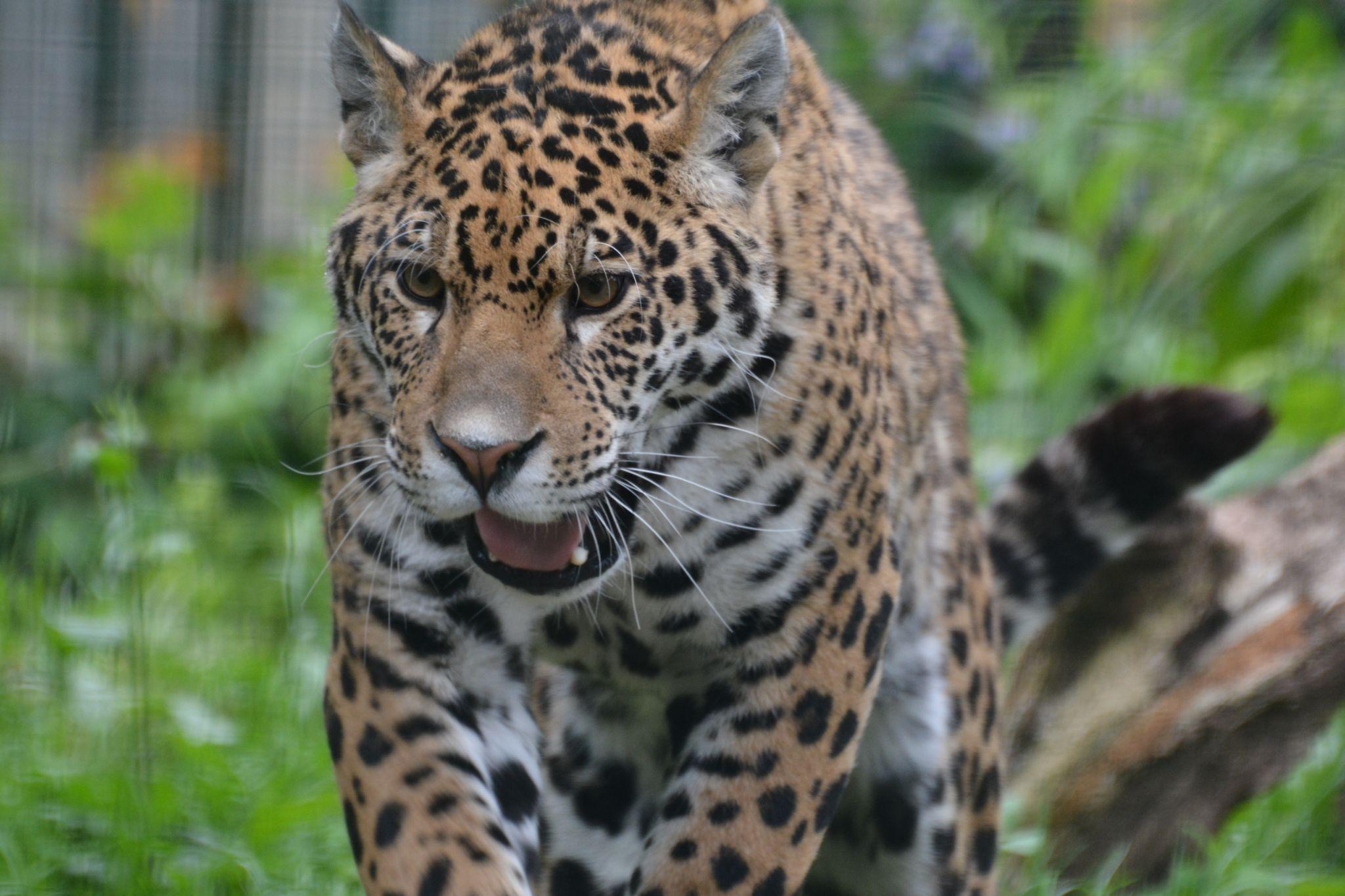 jaguar by jackal-headed-god