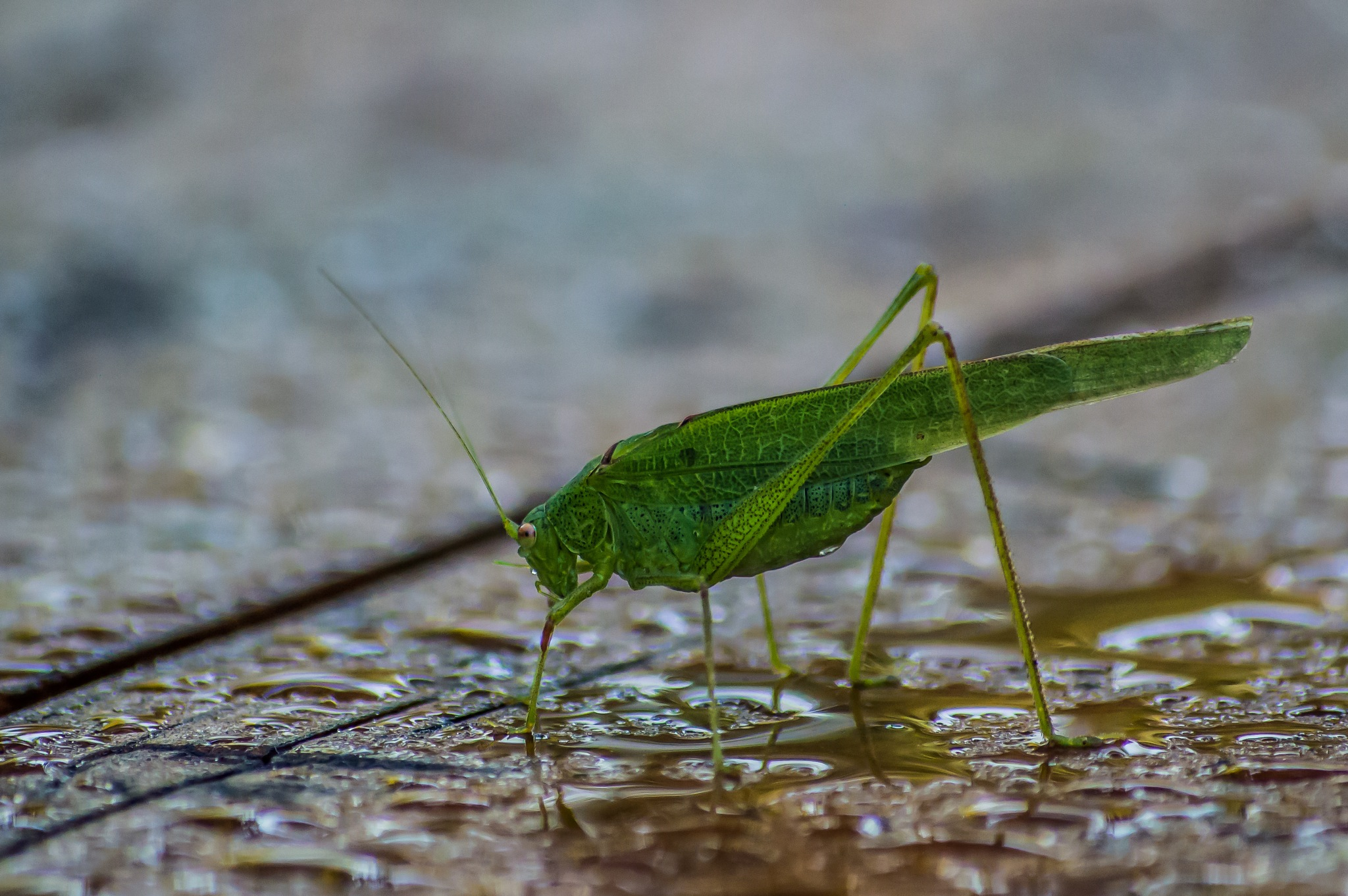 Grasshopper by Iulian Bud