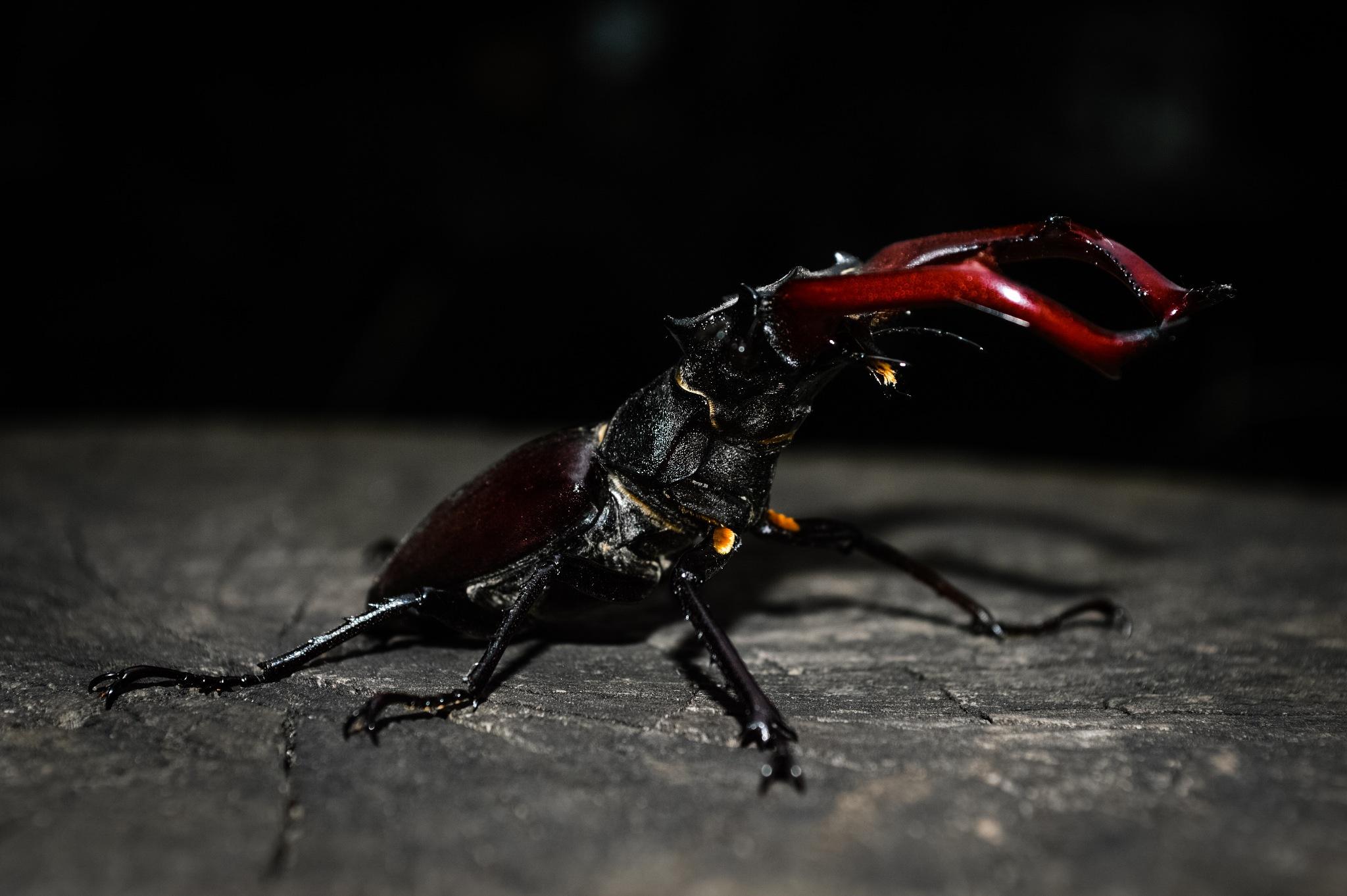 Stag beetle by Iulian Bud