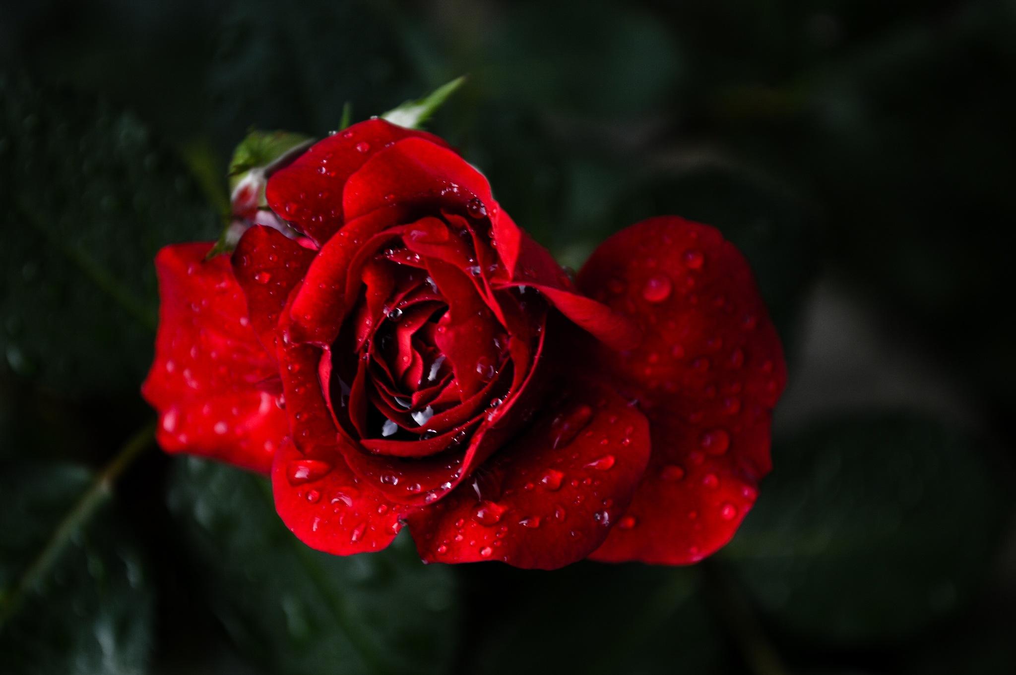 Red rose by Iulian Bud