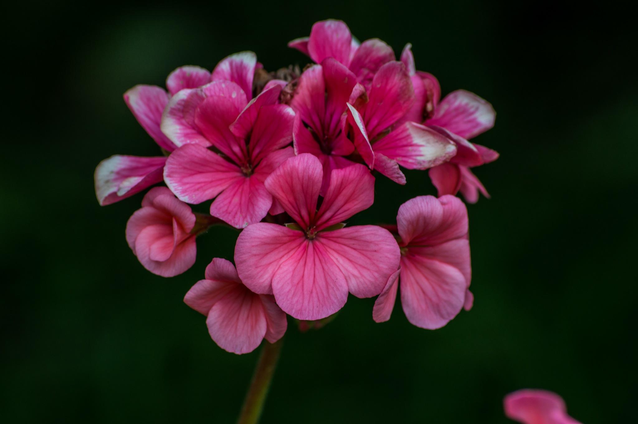 Pink flower by Iulian Bud