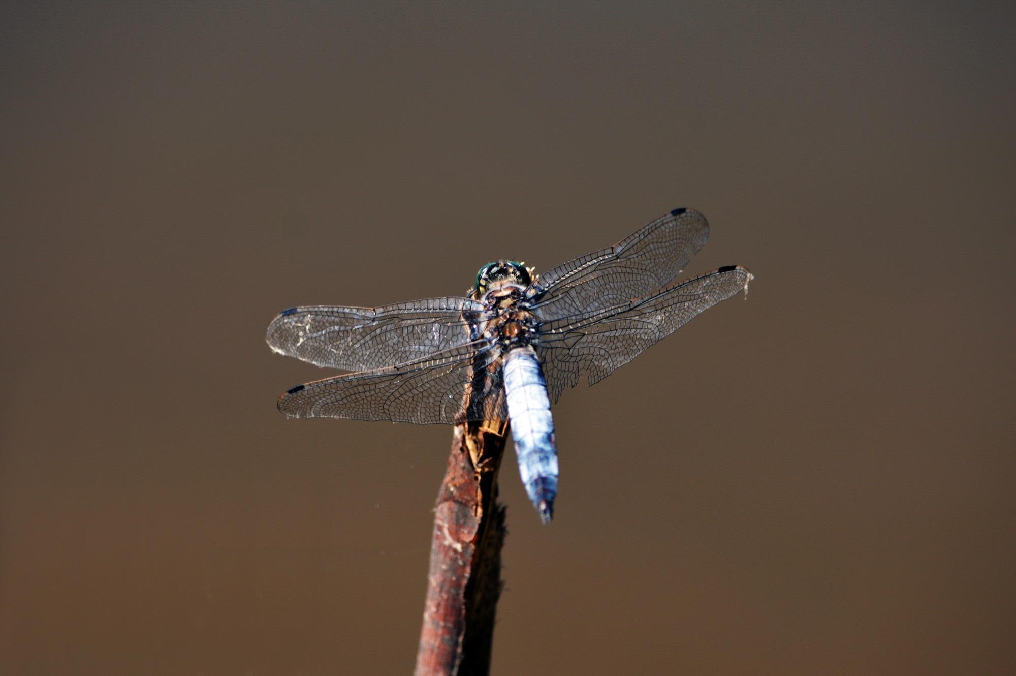Dragonfly by Iulian Bud
