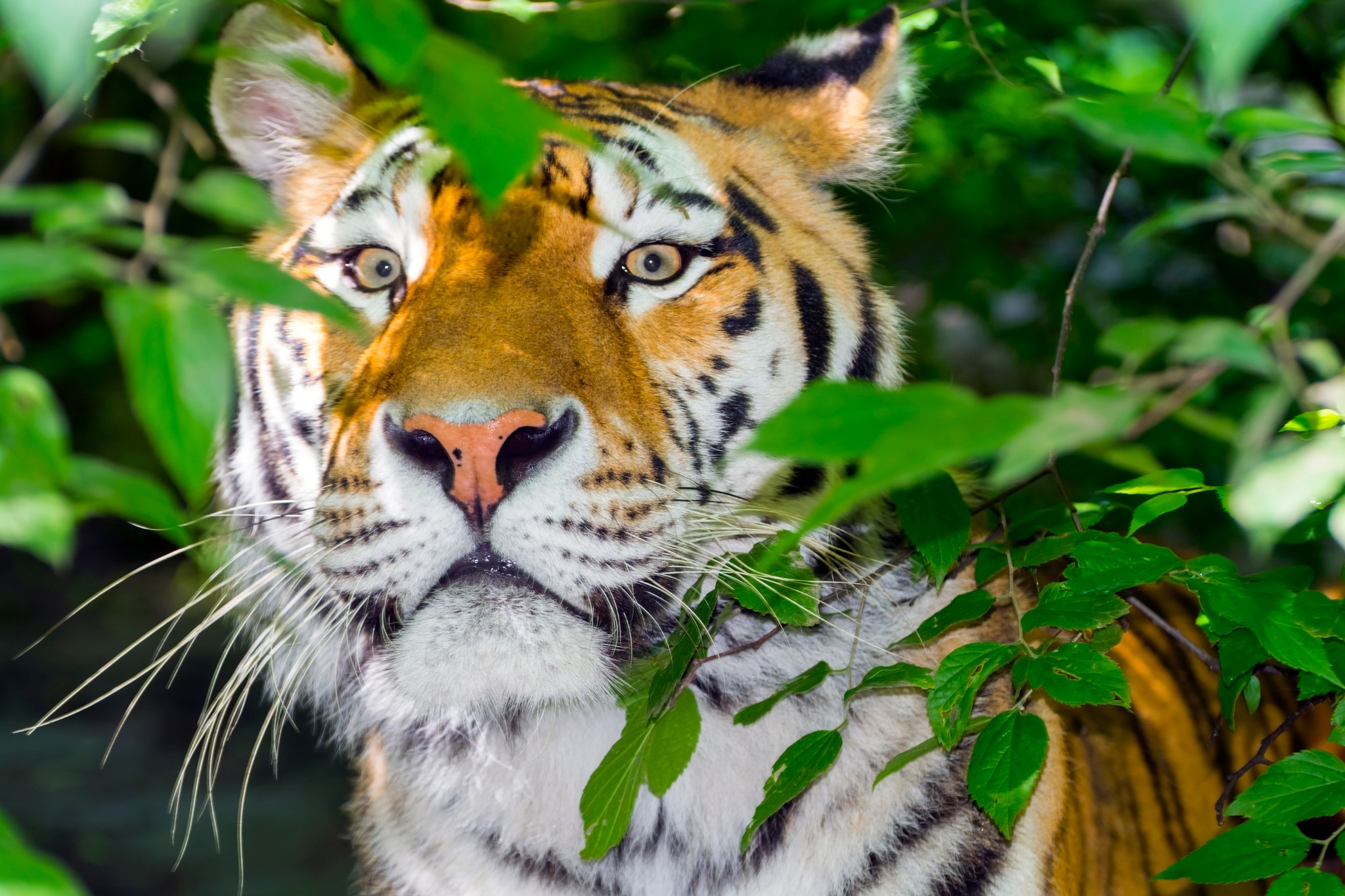 Tiger stripes and green leaves by eLajos