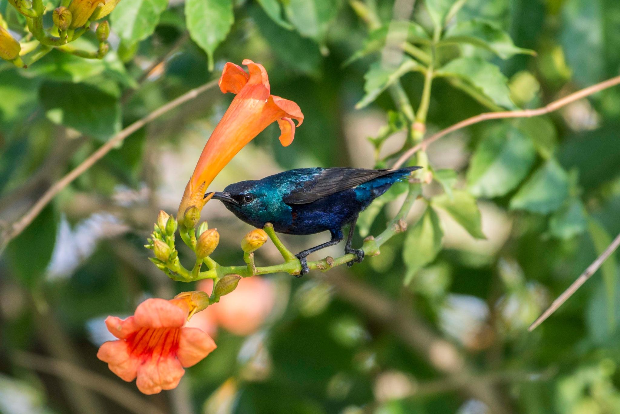 Male Sun Bird by Muhammad Azhar Hafeez