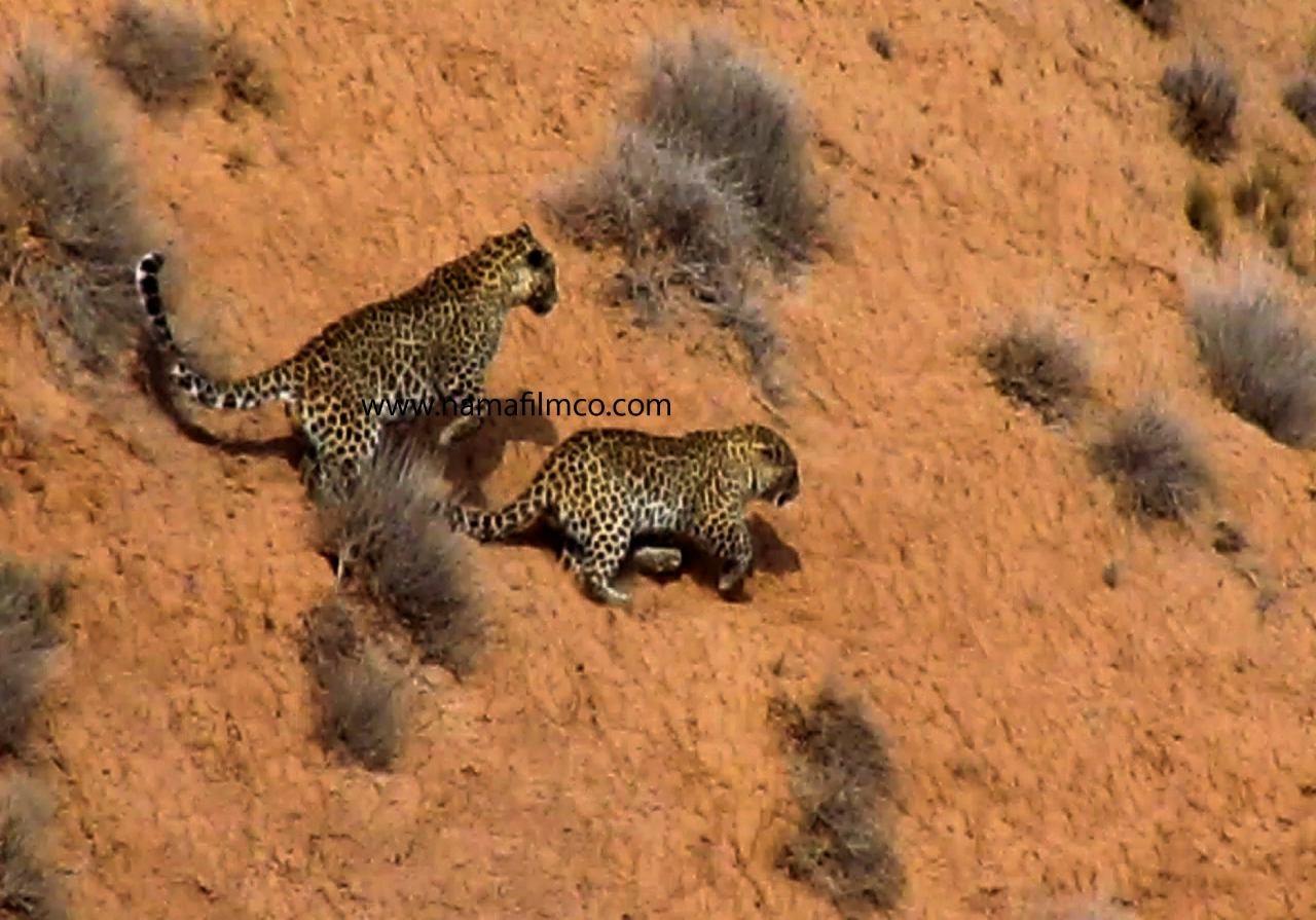 Iranian leopard  by behrouz sebt rasoul