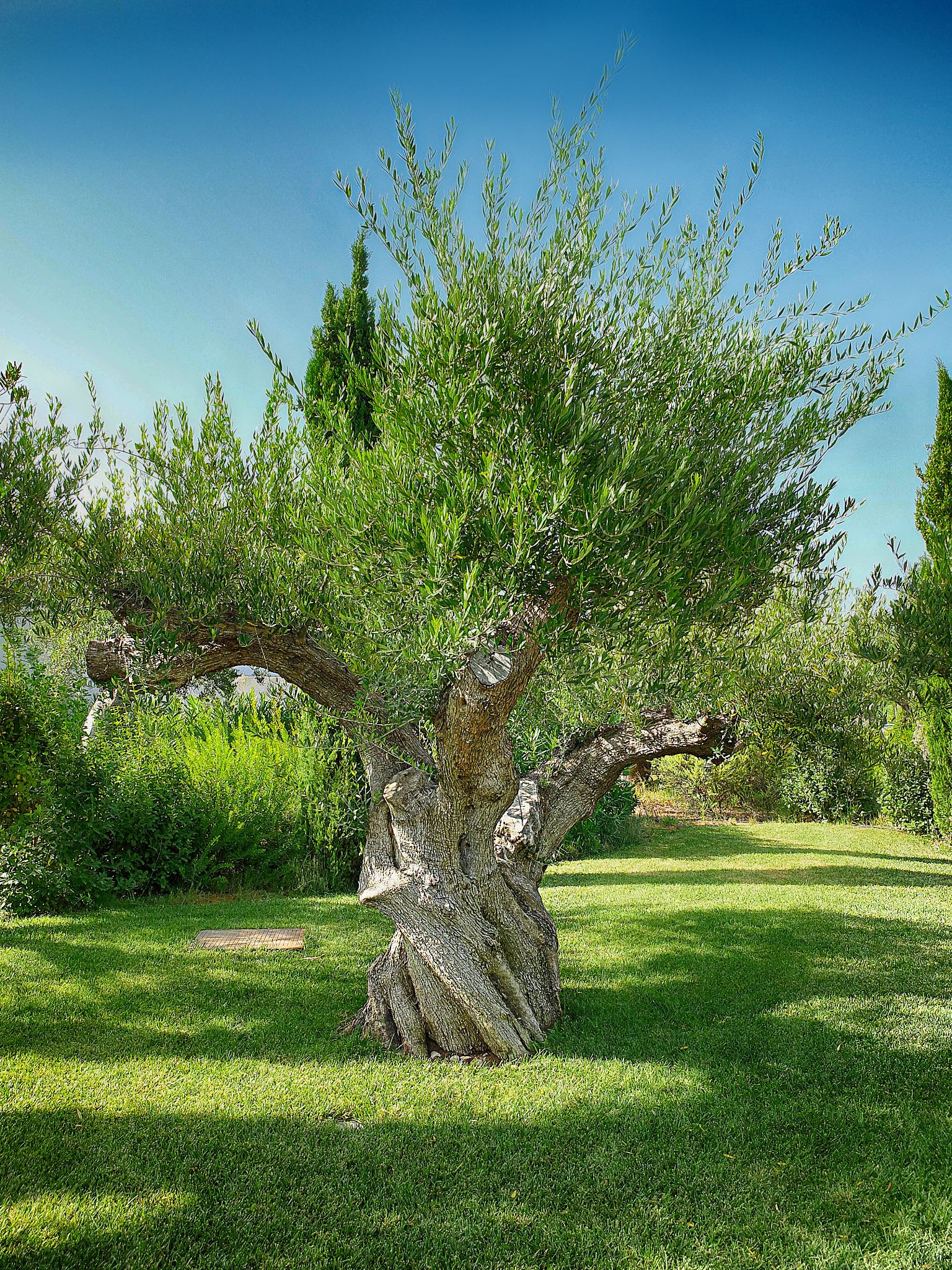 Olive Tree by Nigel S Jones