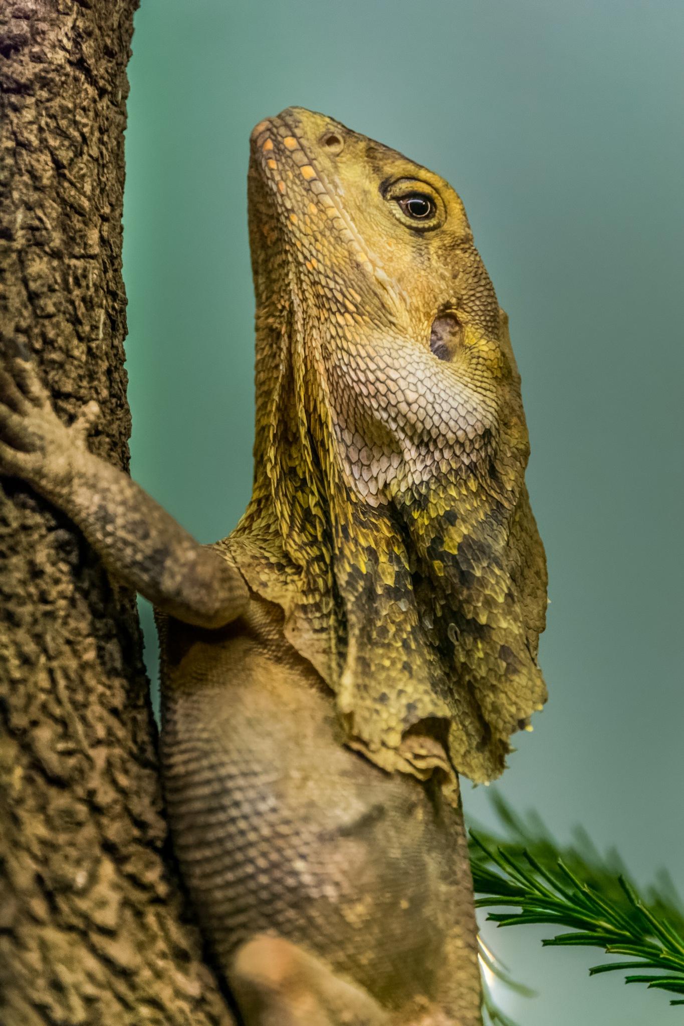 Frilled Dragon by Spiros Miaris