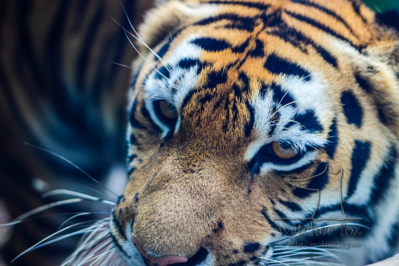 Muzzle of tiger by watcher fox