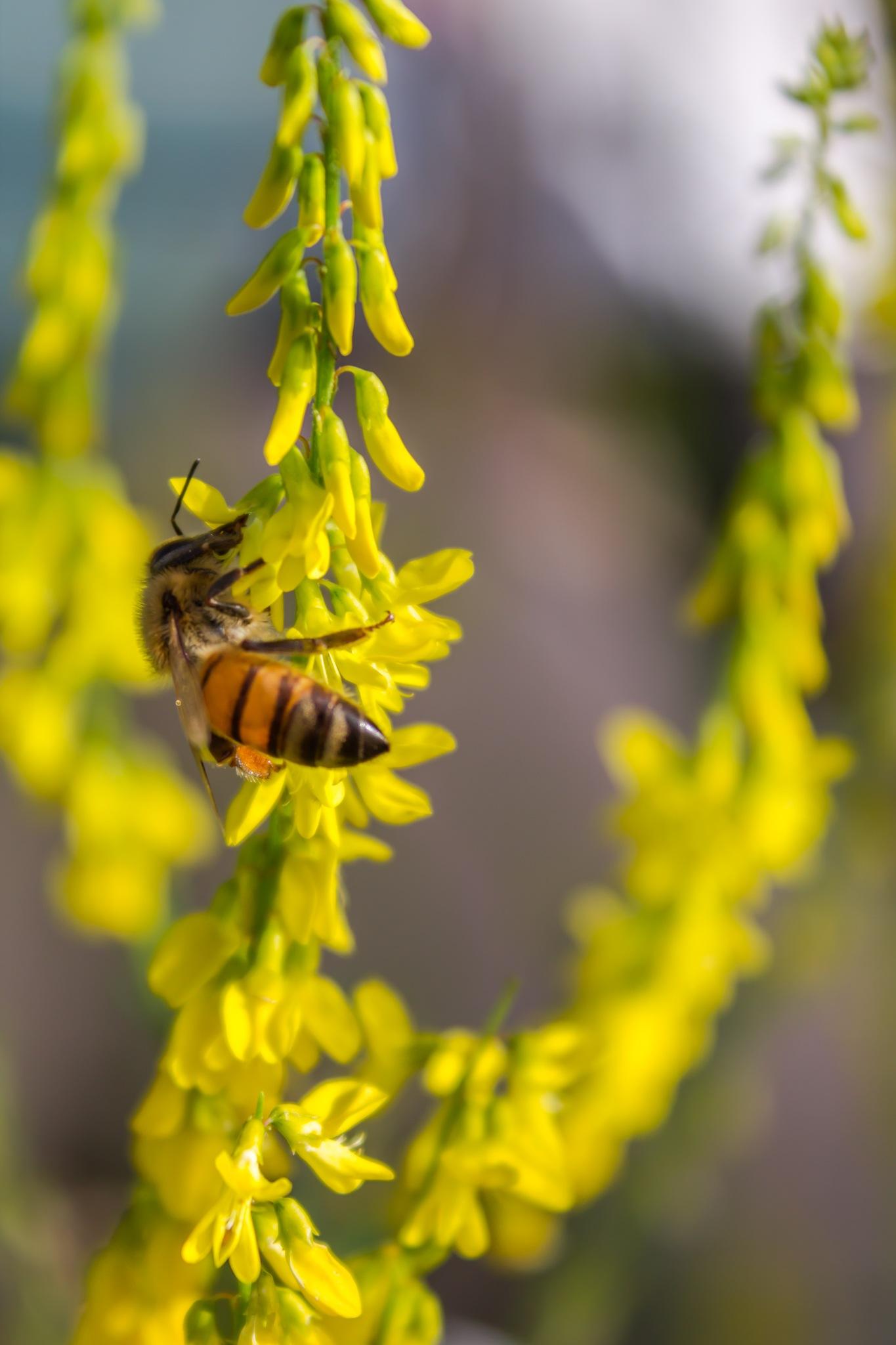 Busy Bee by Behzad Shabani