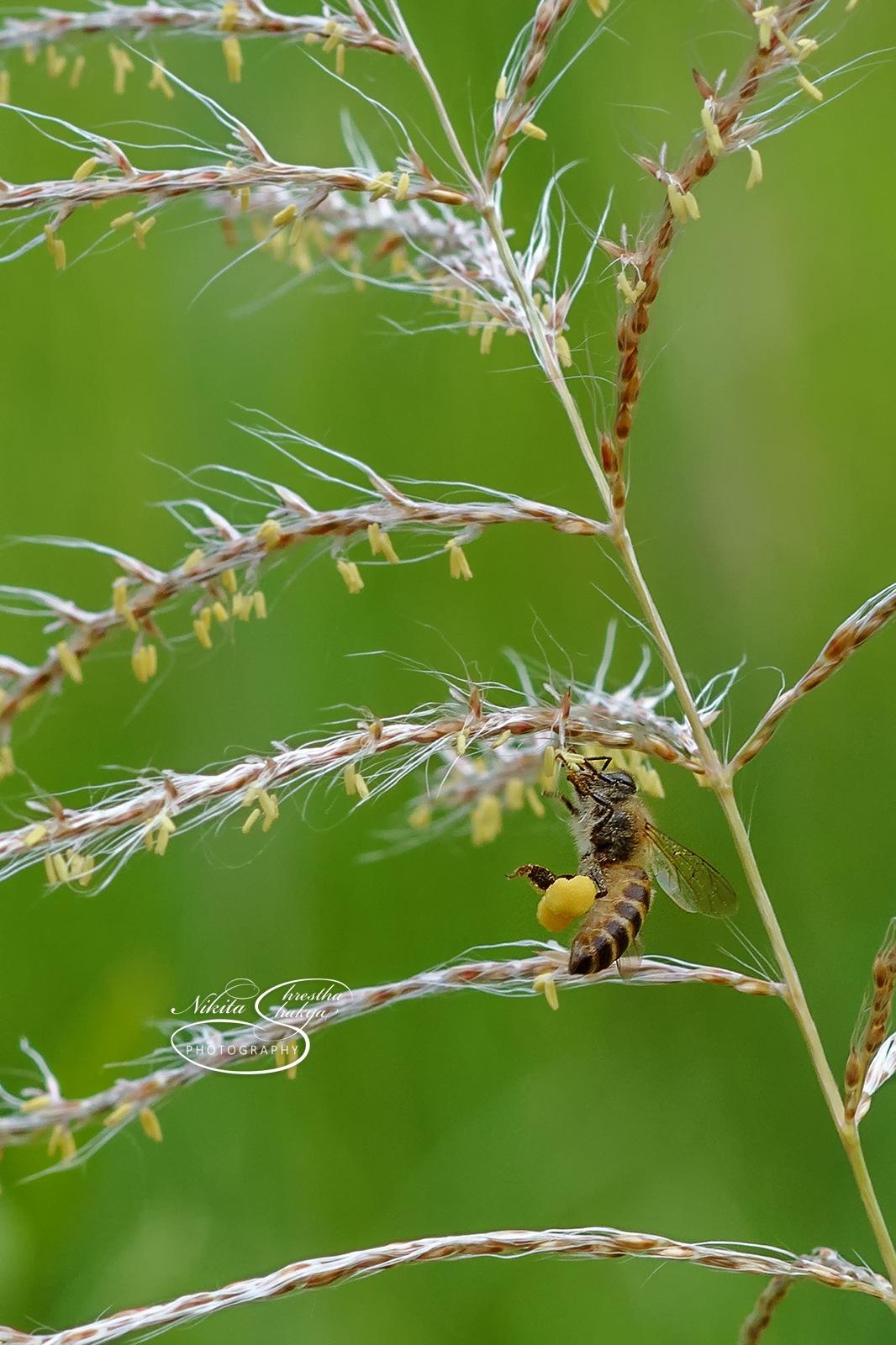 Honey Bee  by Nikita ShreSha