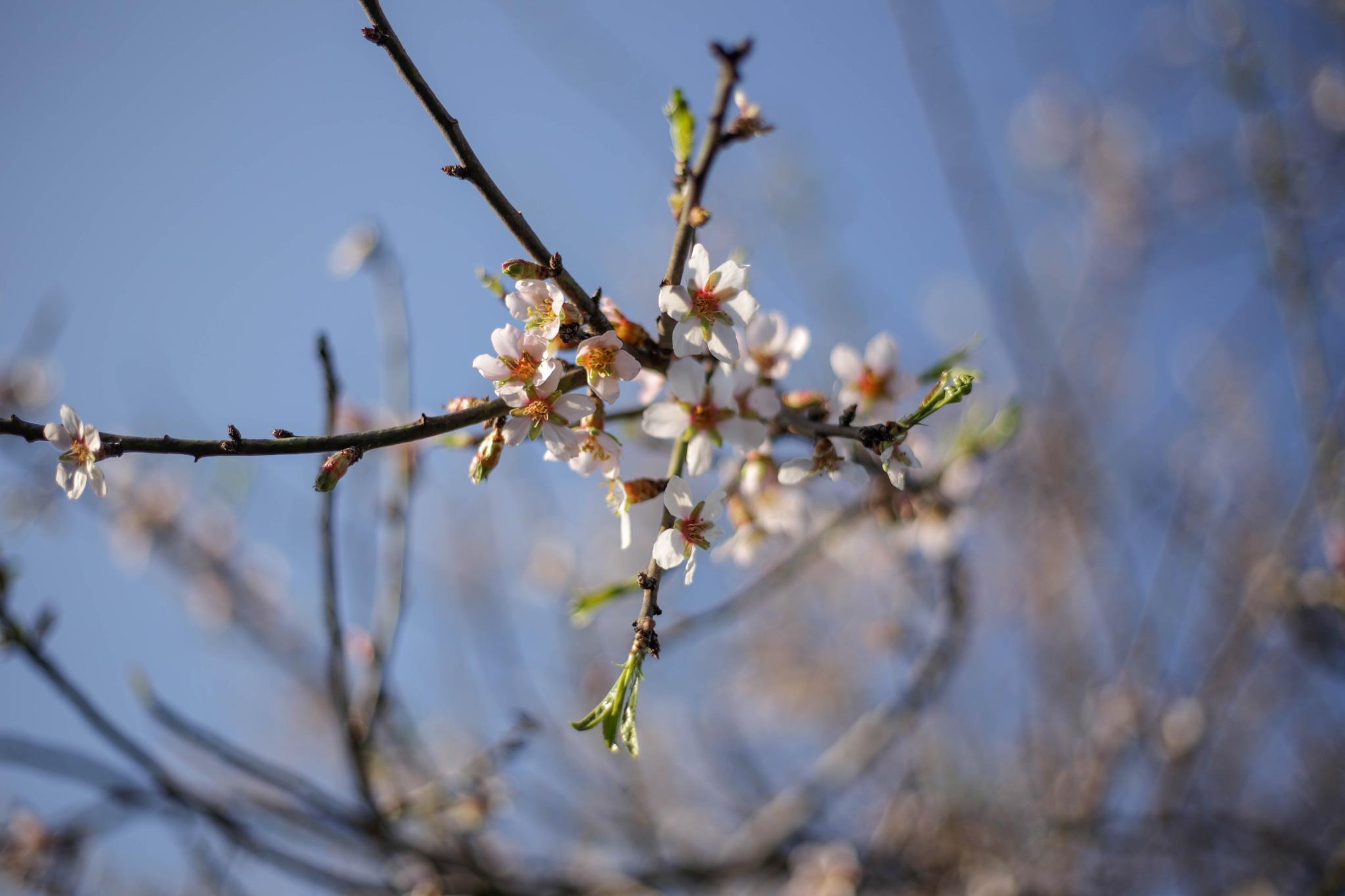 Almond bloom by Szilágyi Szabolcs