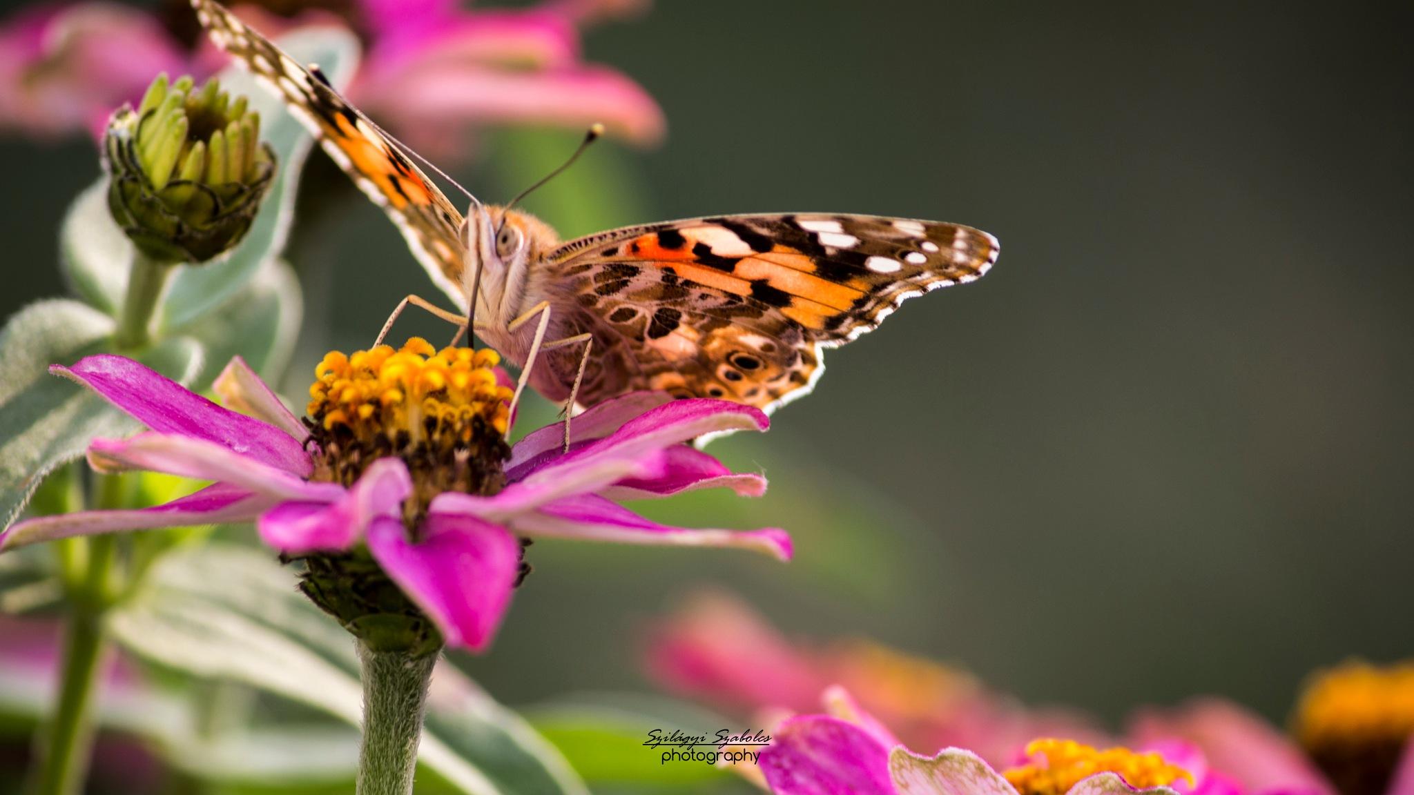 Butterfly by Szilágyi Szabolcs