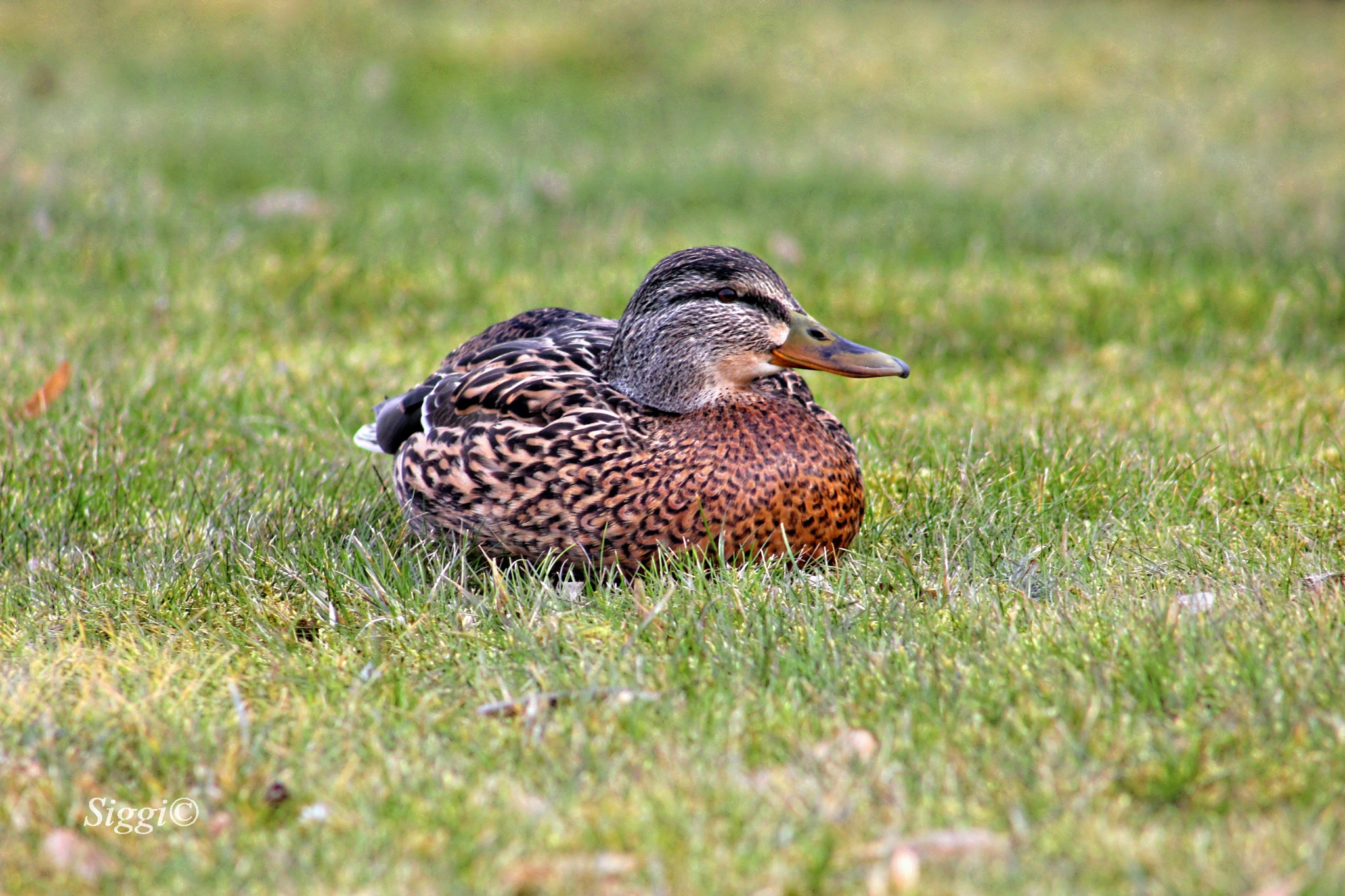 Duck by Zbigniew©