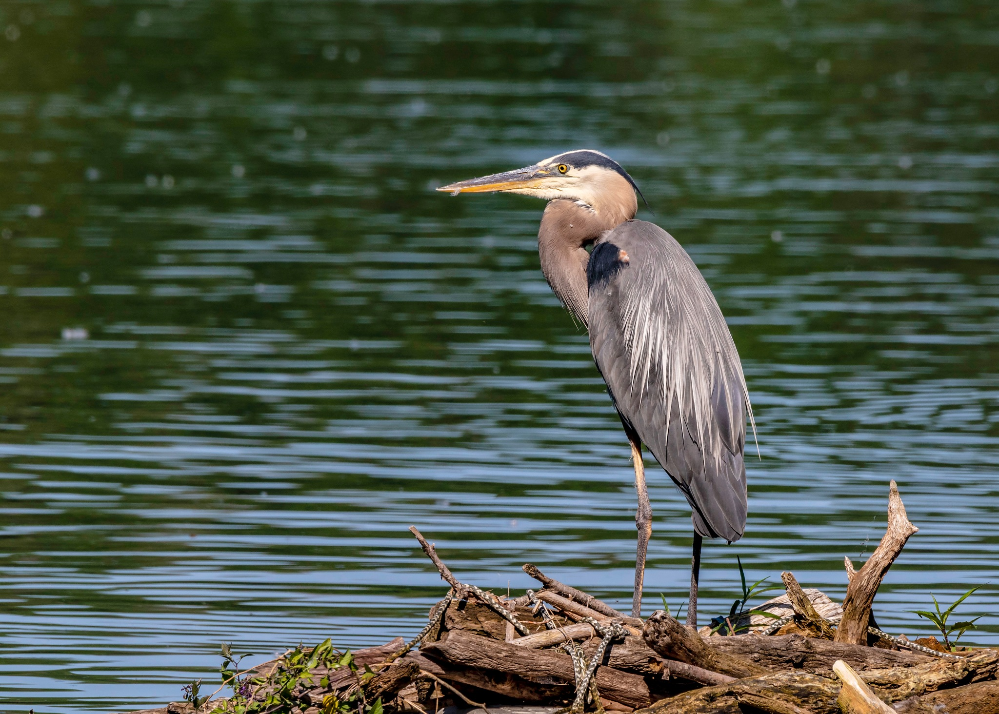 Great Blue Heron by will139kh