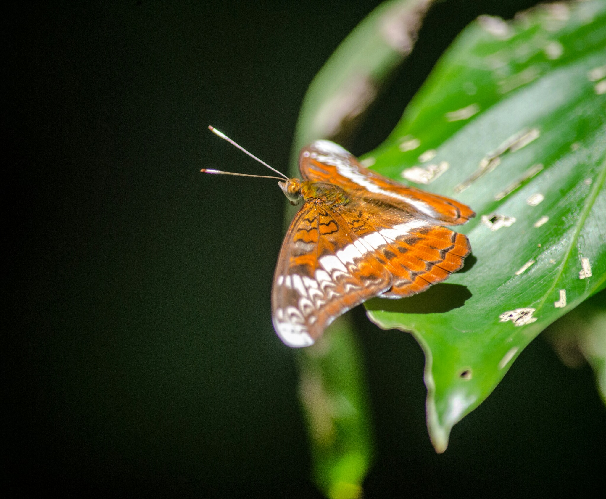 Butterfly  by Masud Khan
