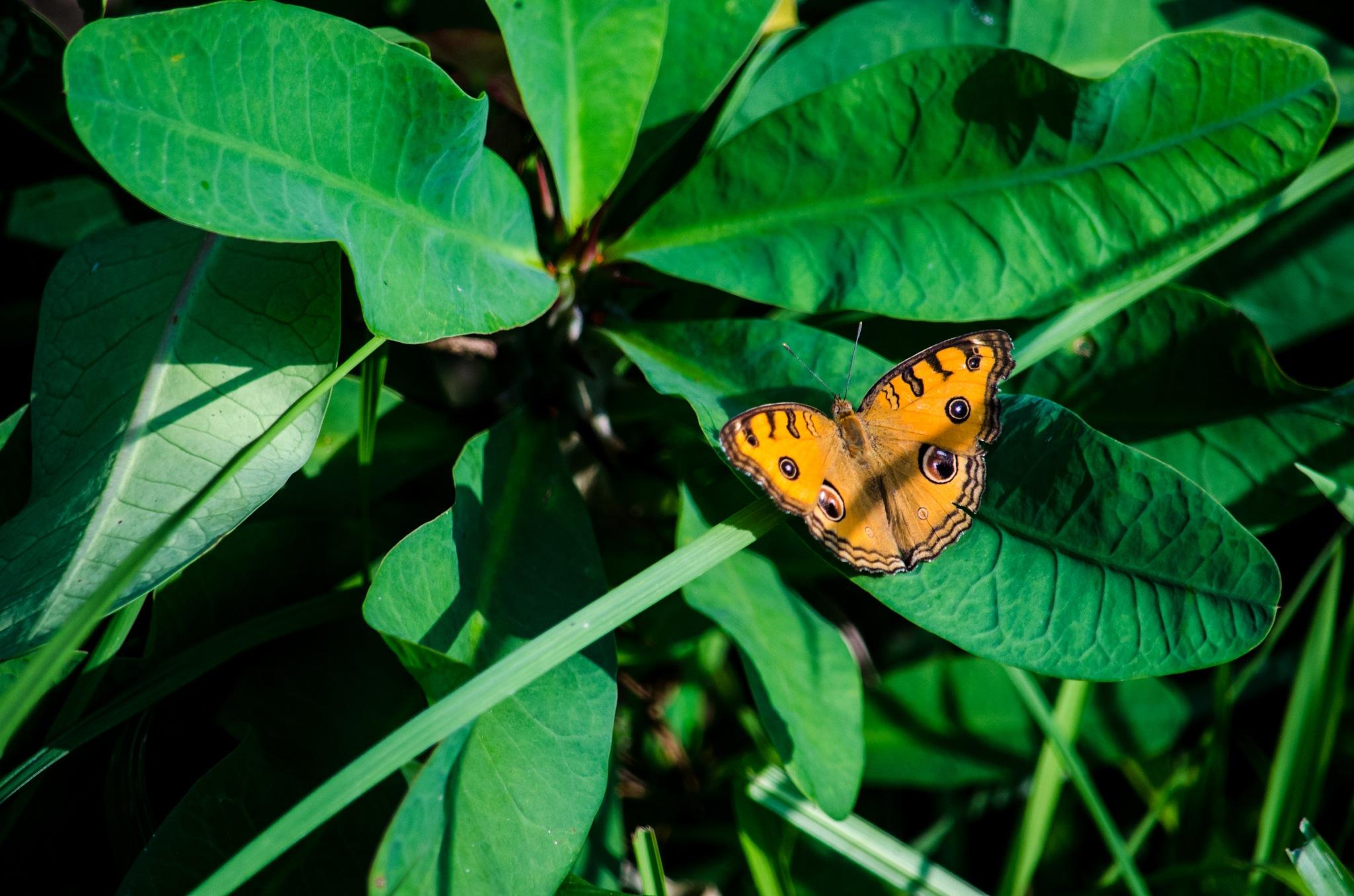 Beautiful Butterfly by Masud Khan