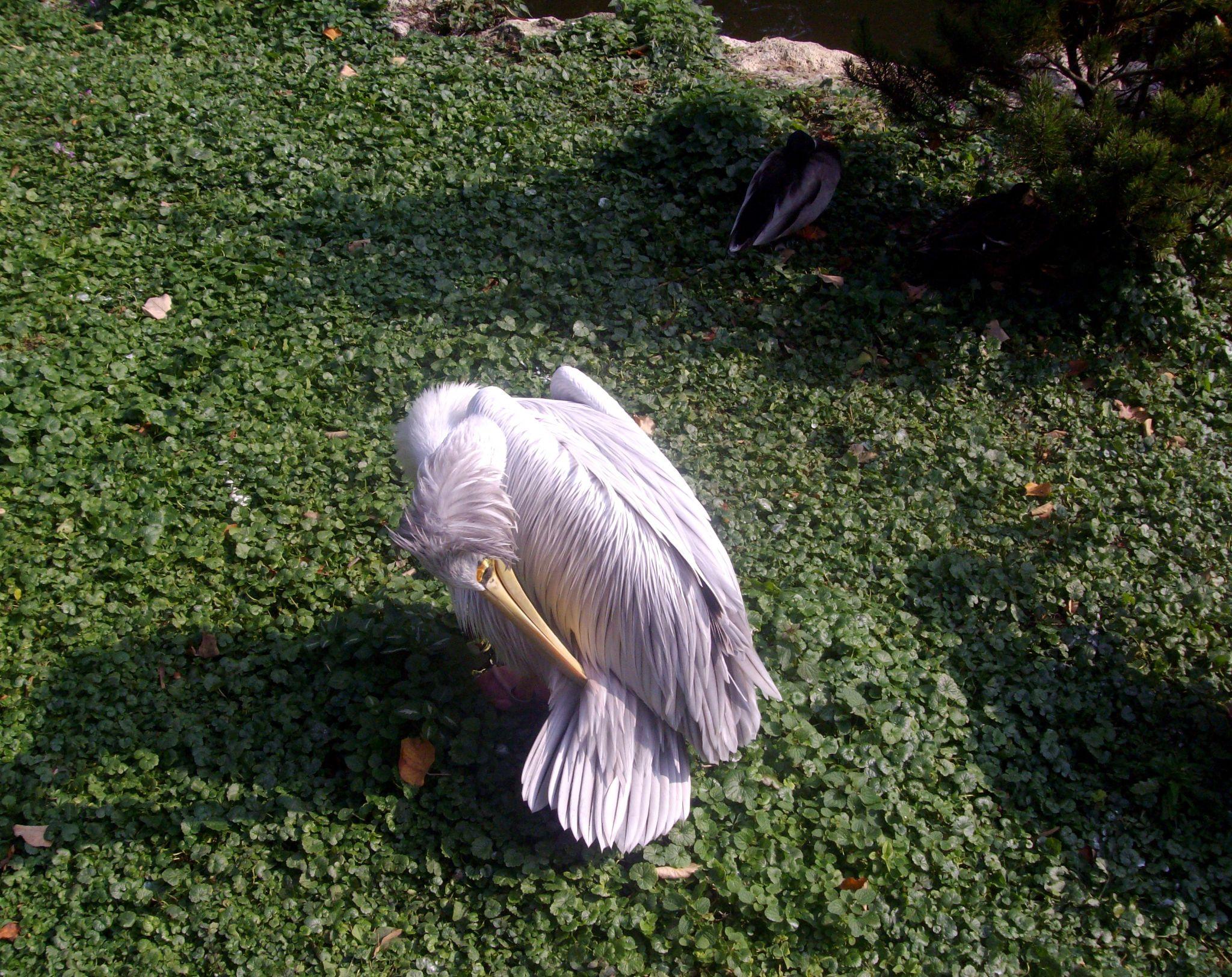 Pelican (?) by bozicatrnka