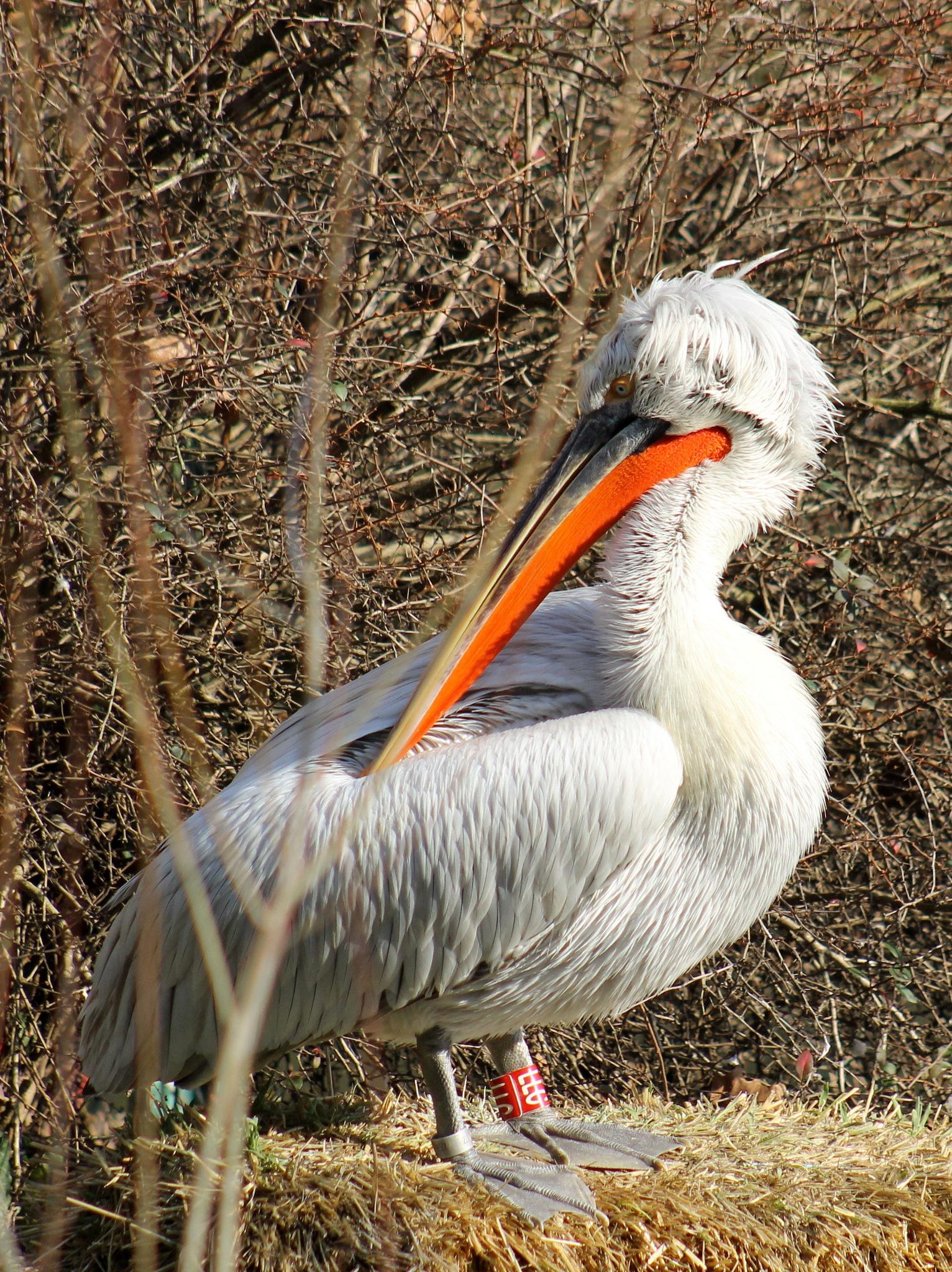 Pelican by bozicatrnka