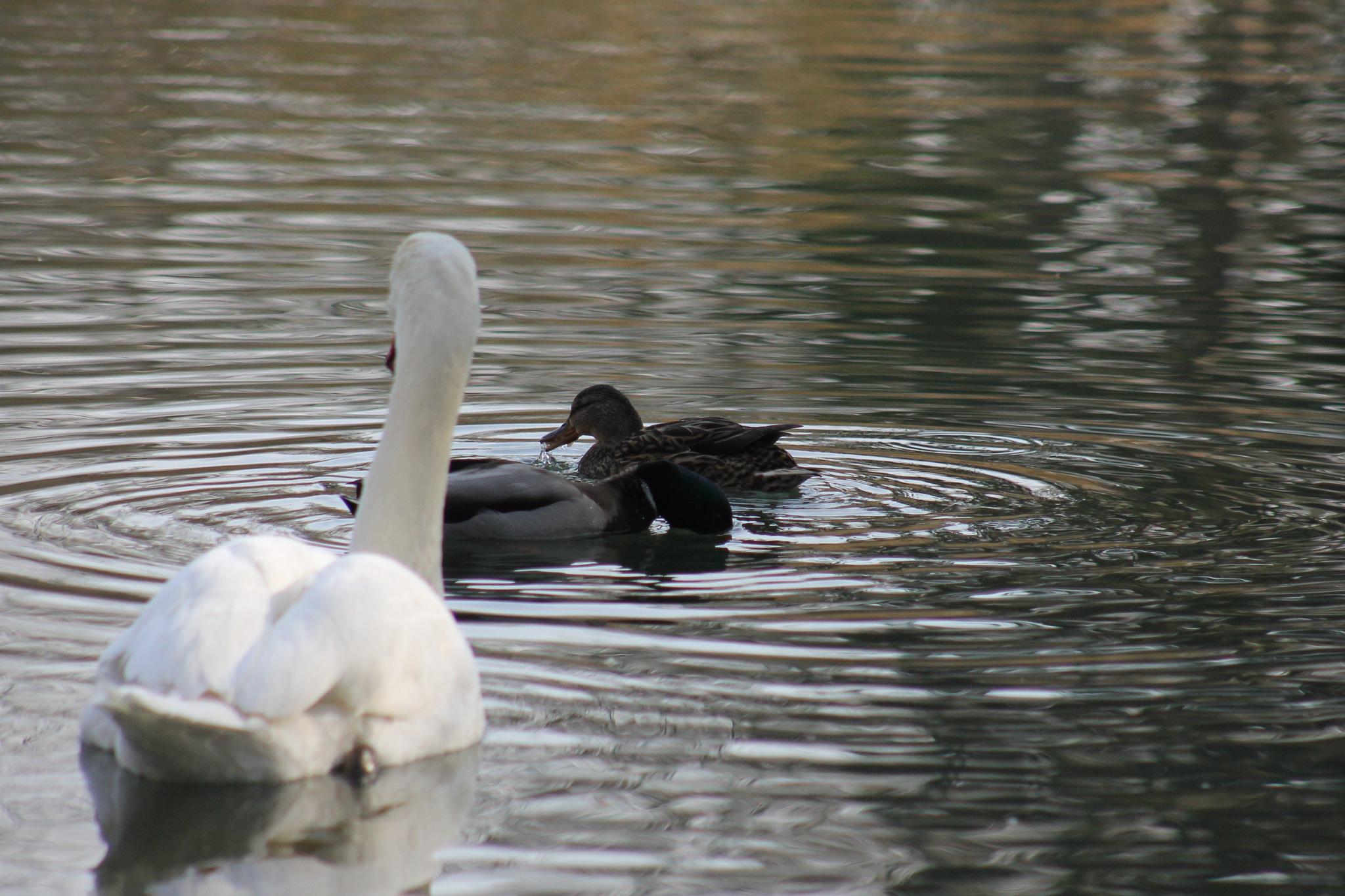 Swan and Ducks by bozicatrnka