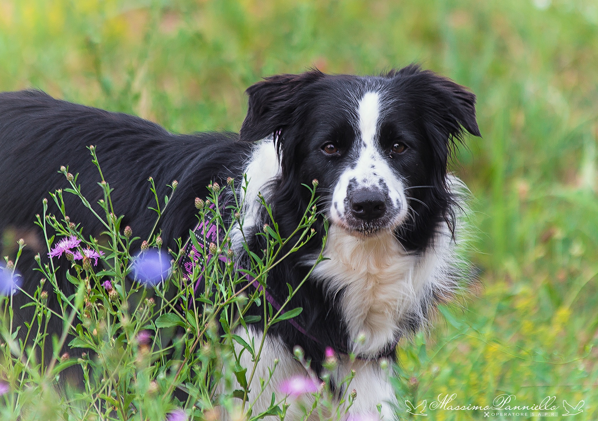 """My crazy Border Collie """"Shakty"""" by Massimo Panniello"""