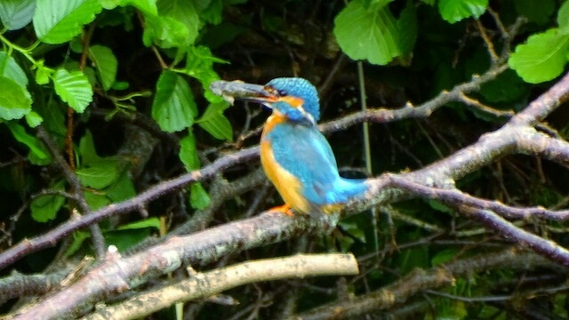 The same kingfisher with its breakfast this morning by Darren Walton