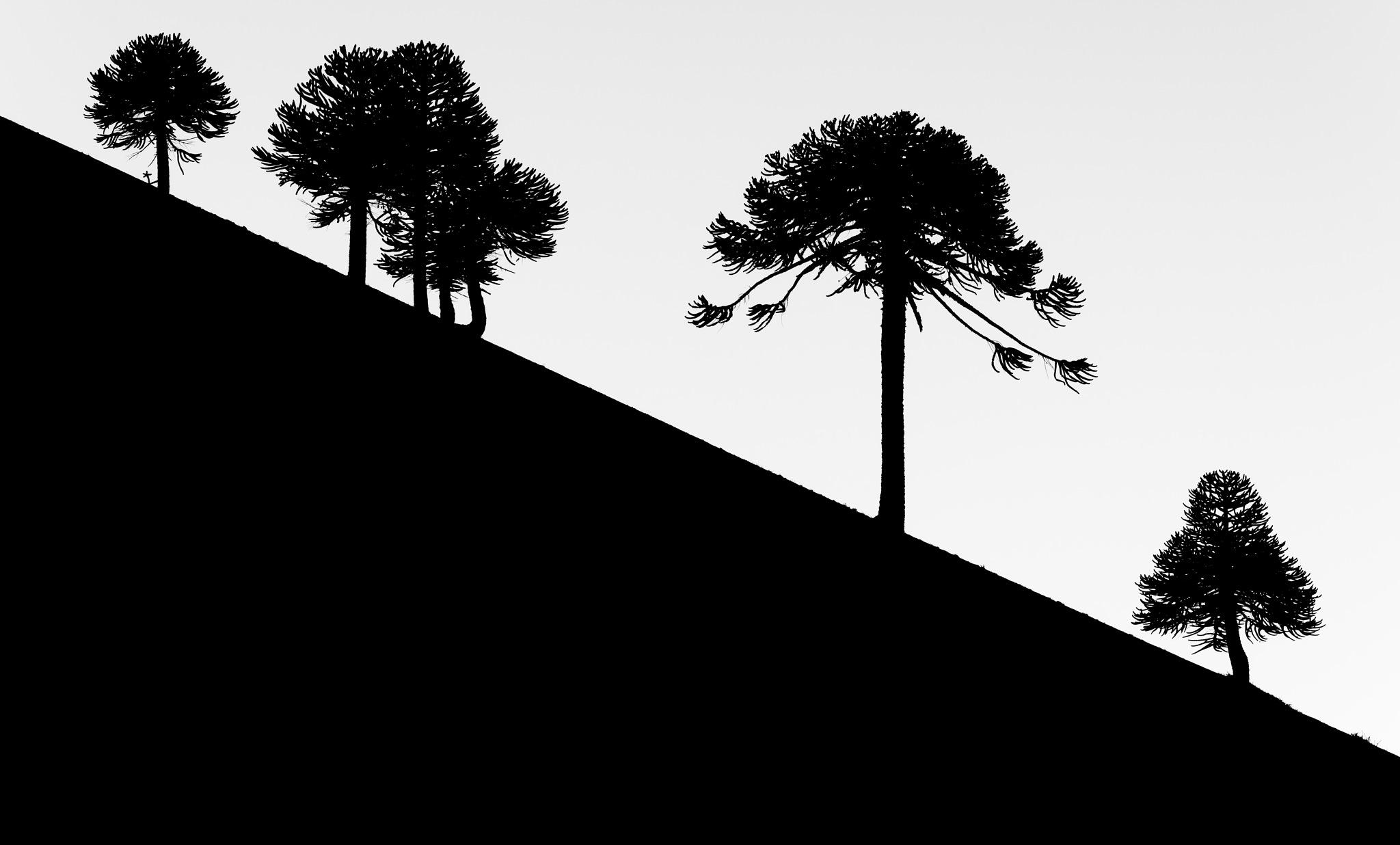 Araucarias by Francisco Negroni