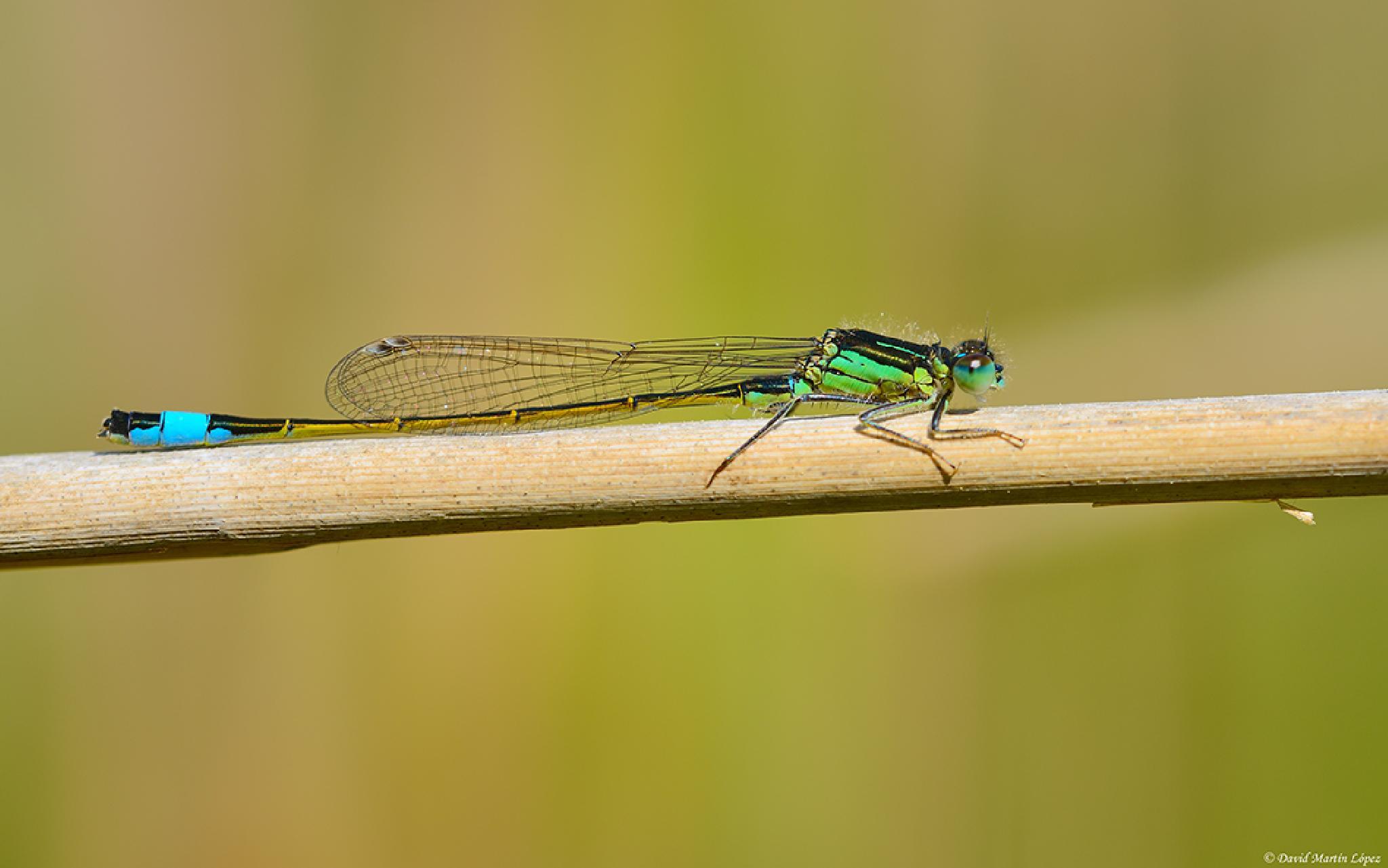 Ischnura elegans by davidmartinlopez