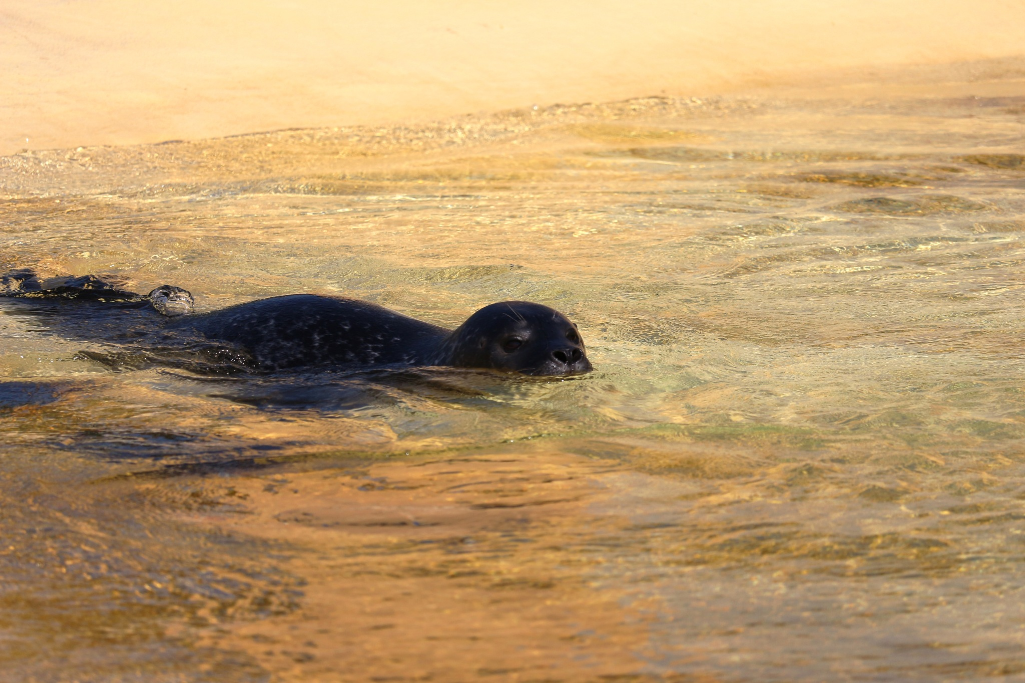 Swimming Seal by Wolfgang Schmid