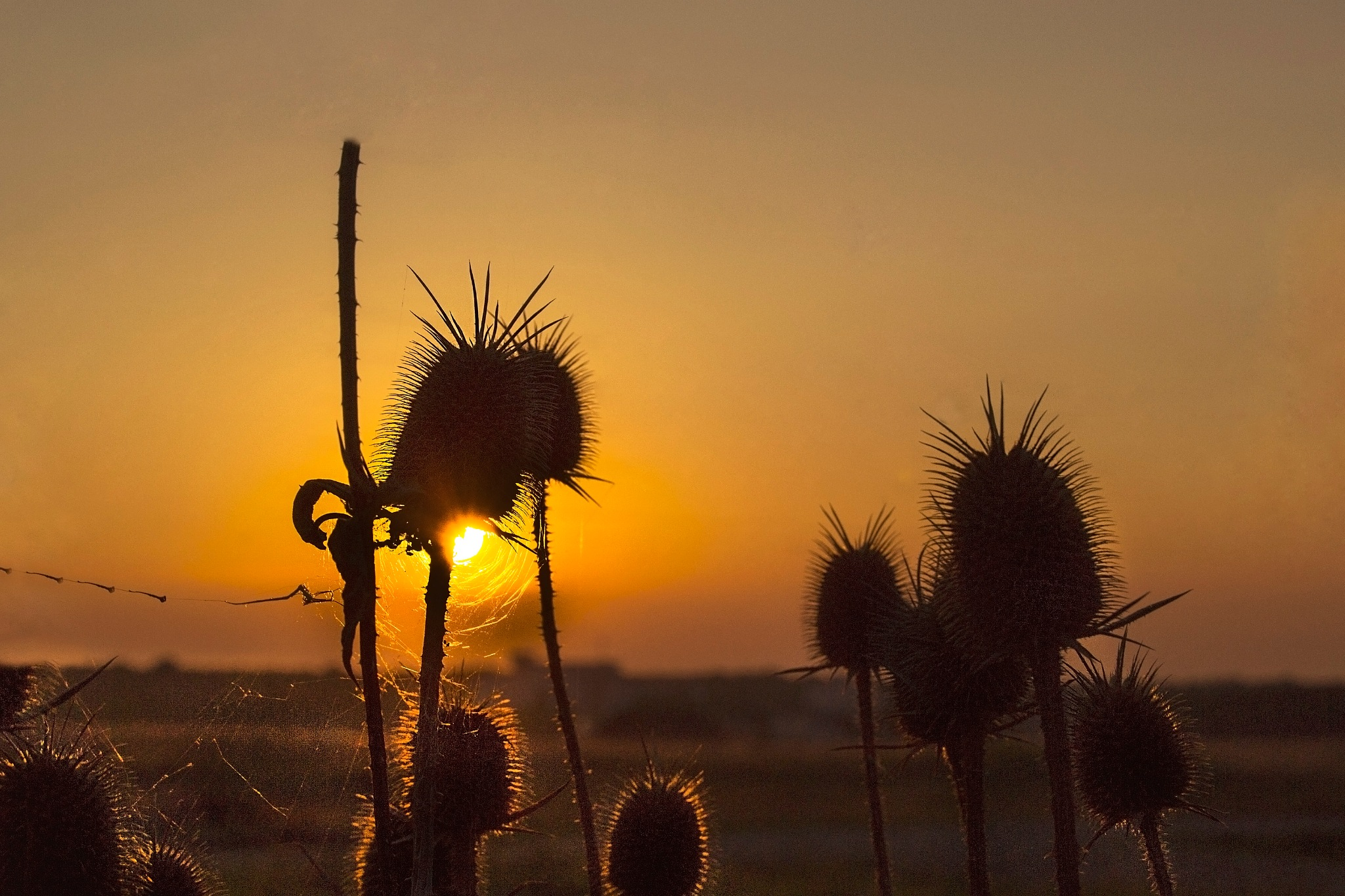 Thistles in the sunset by Neli