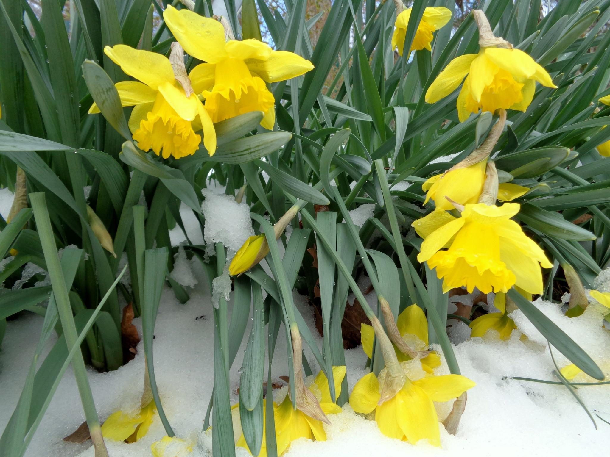 In my garden after snowstorm; March 14, 2017, Gaithersburg, MD by NatalyaParris