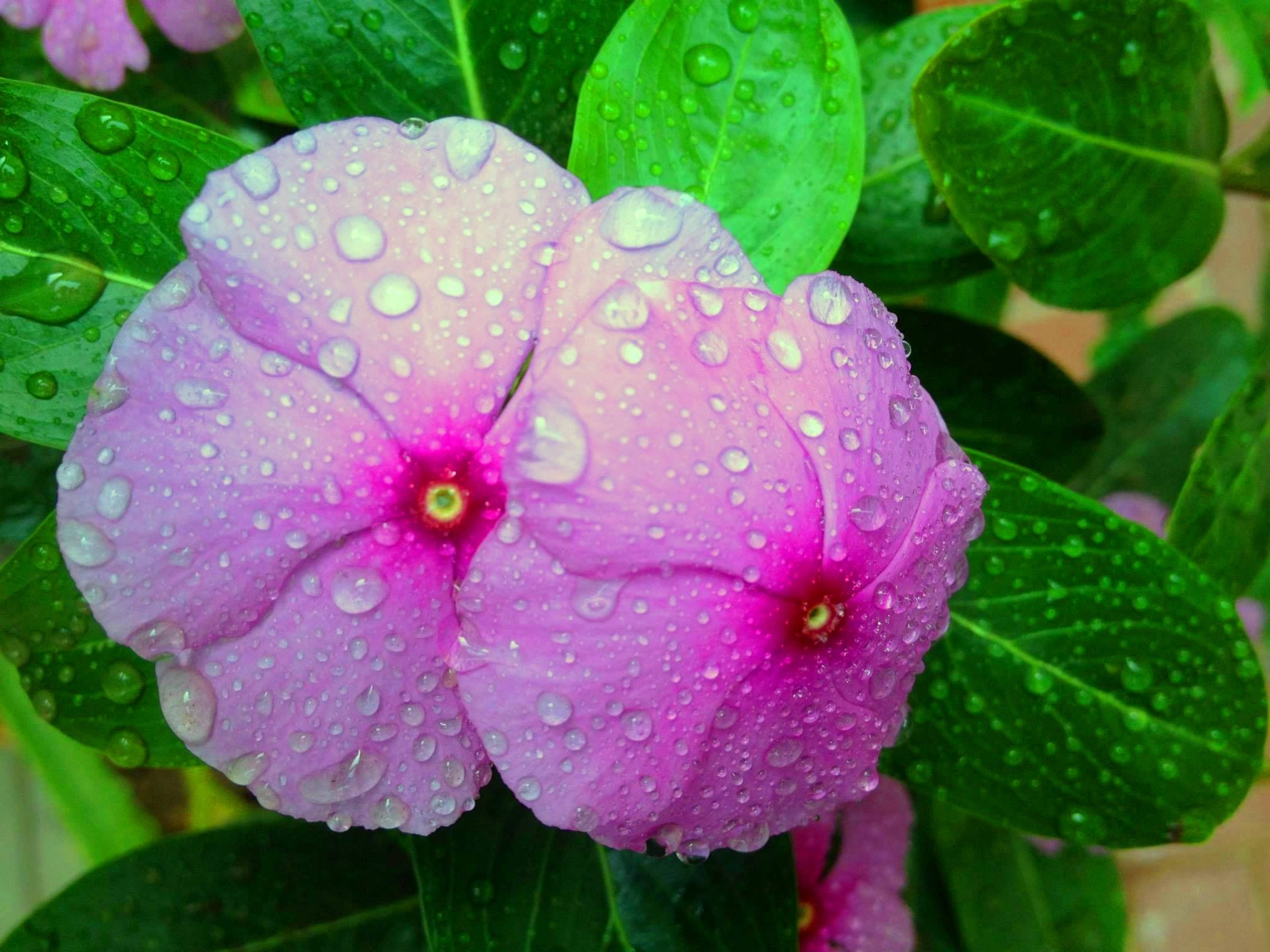 Rain Drop At Flowers by Bharat75