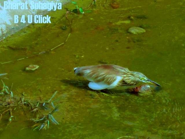 Pond Heron  by Bharat75