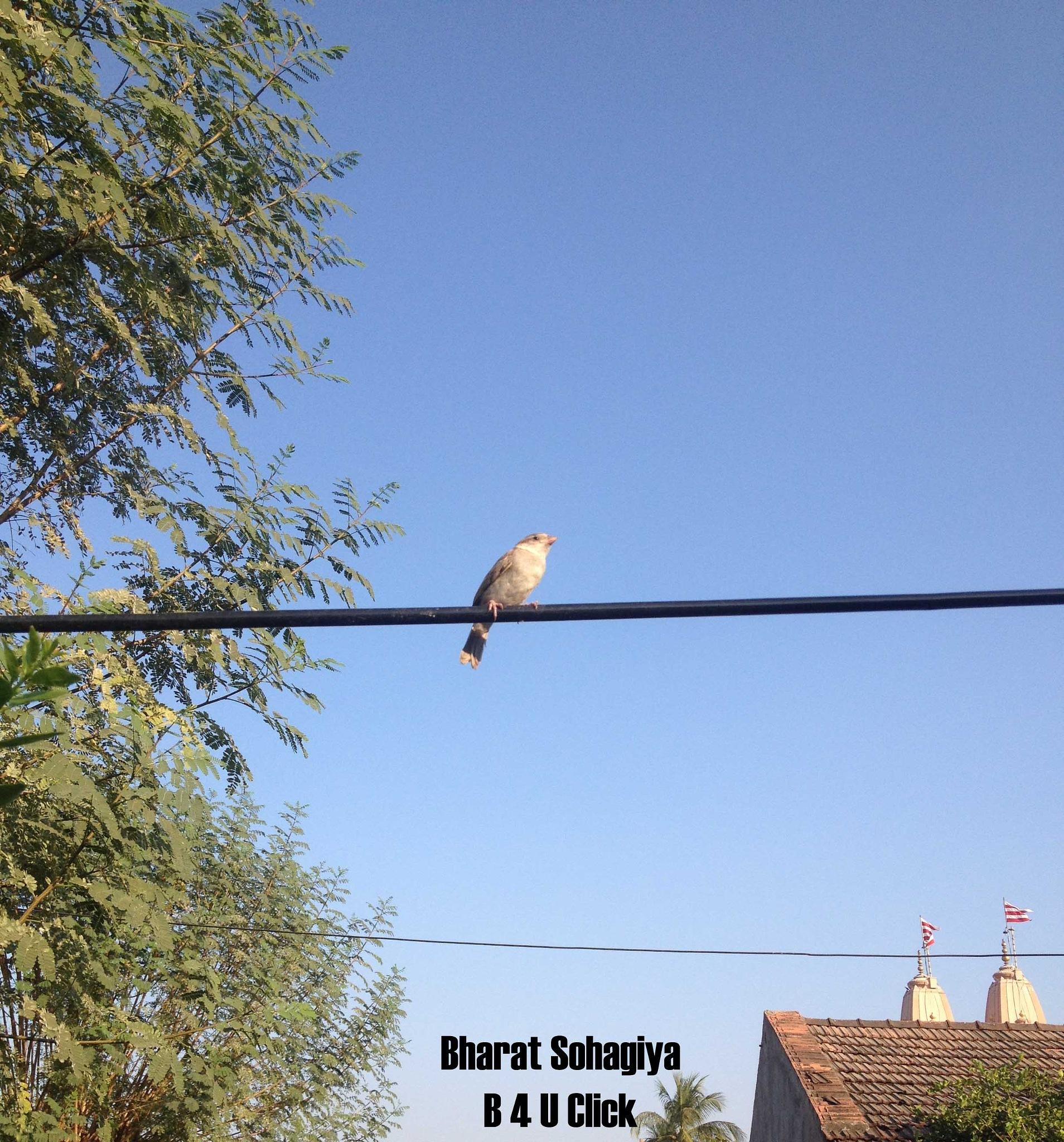Female Sparrow Bird by Bharat75