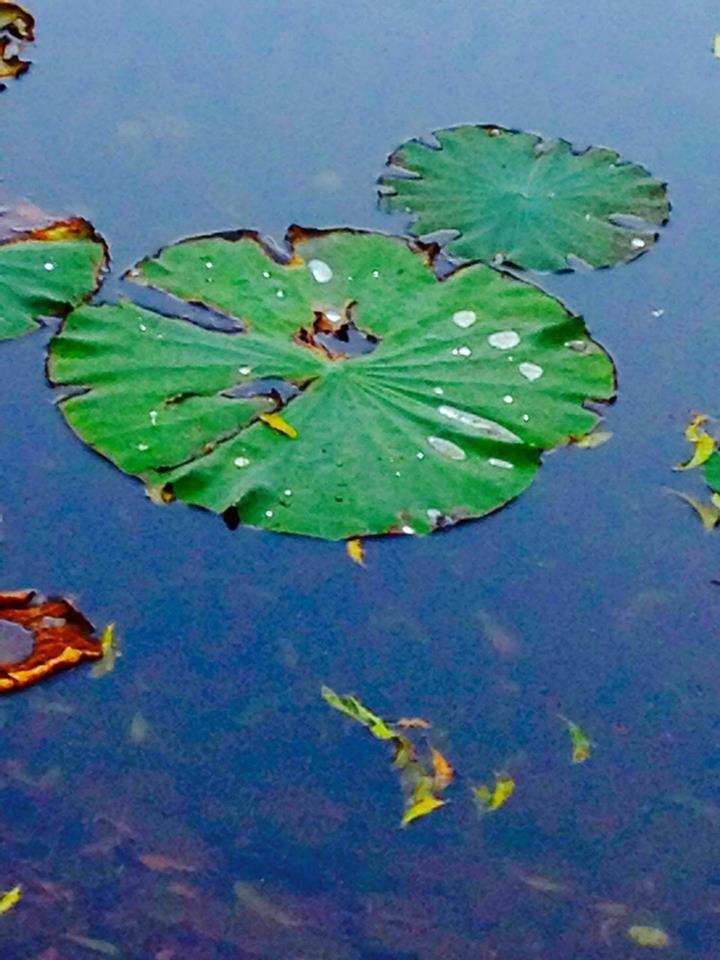 Beautiful Water # Flower by Bharat75