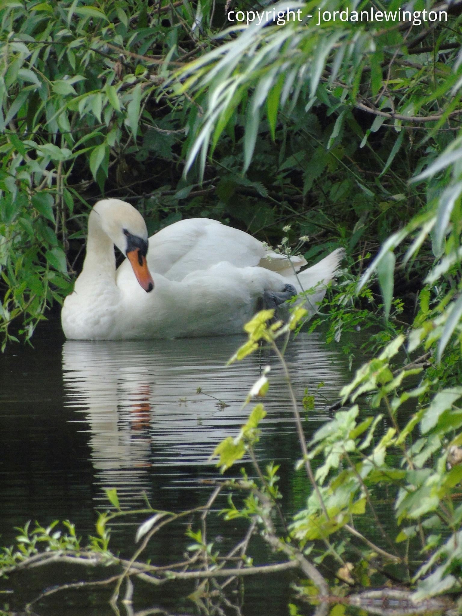 Swan by Jordan Lewington